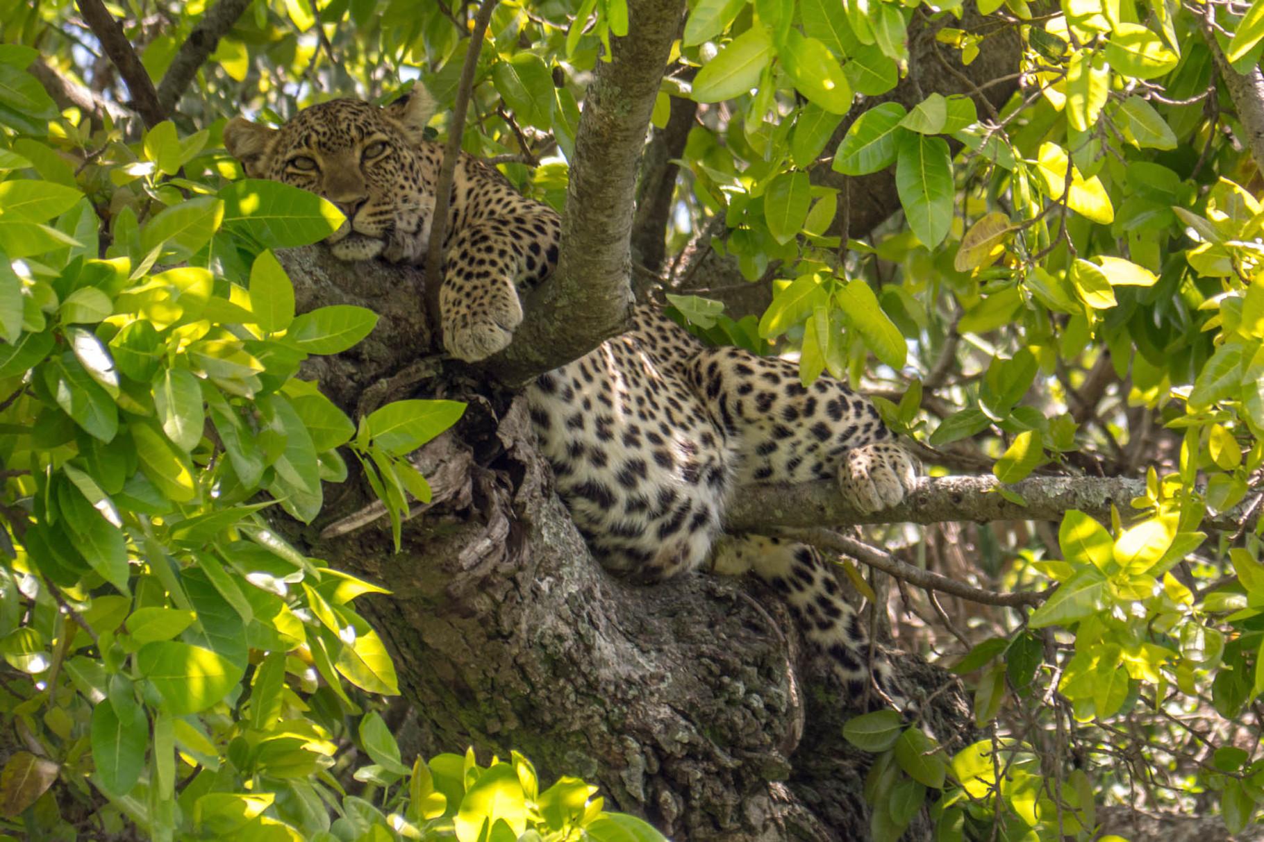 Leopard [Serengeti, Tanzania, 2015]