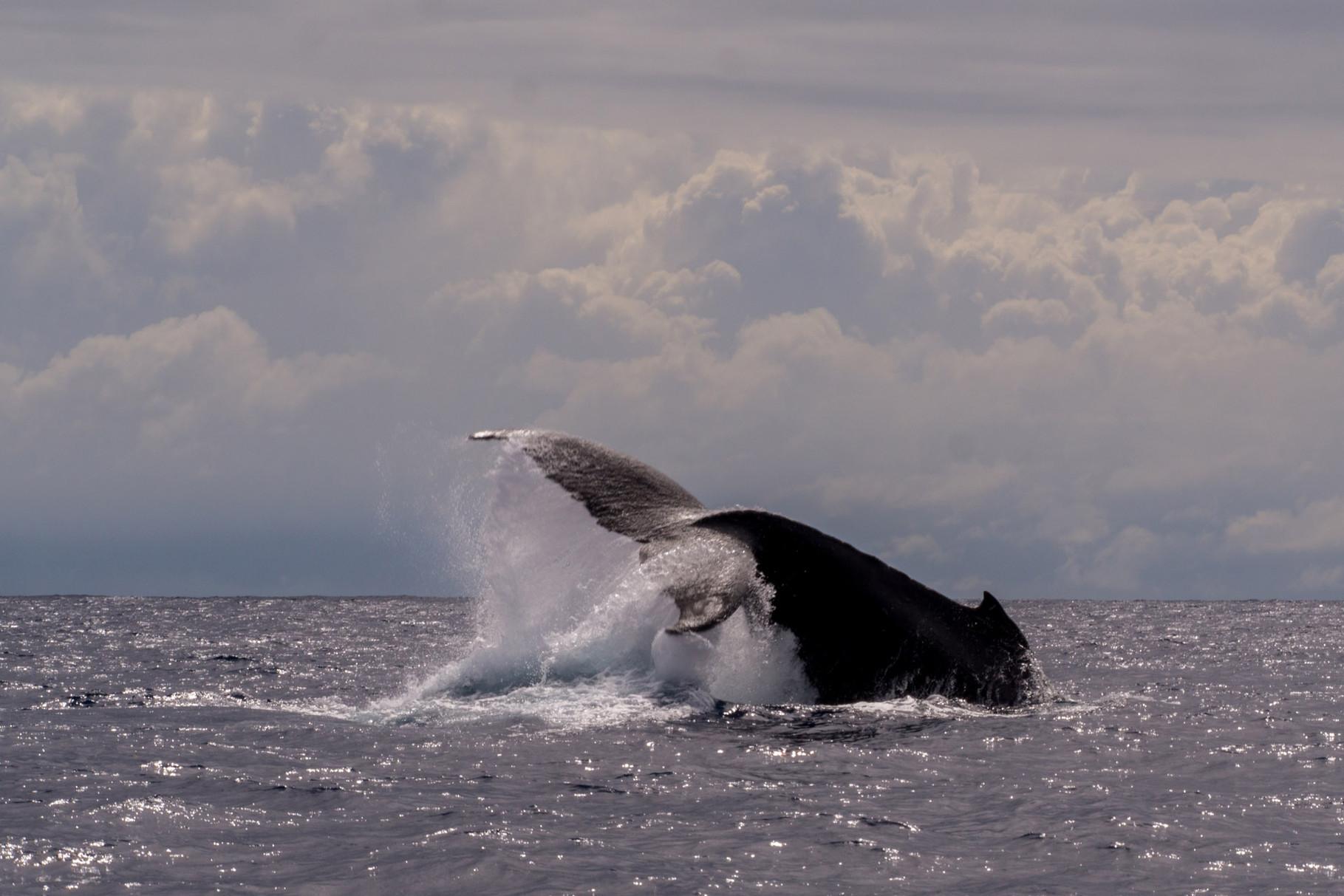 Humpback whale, Moorea