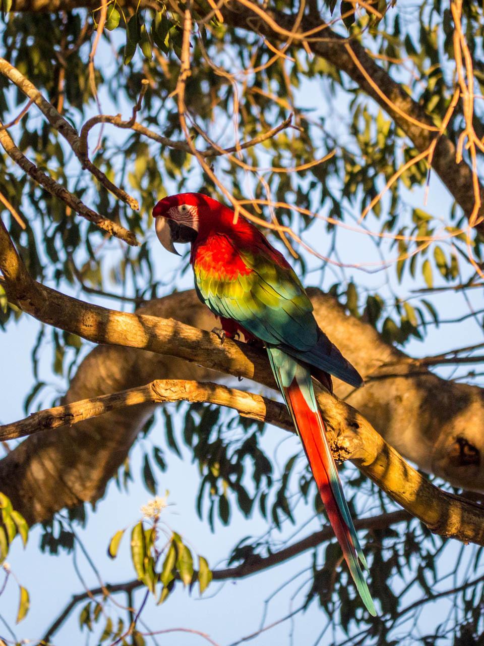 Scarlet Macaw, Pantanal [Brazil 2014]