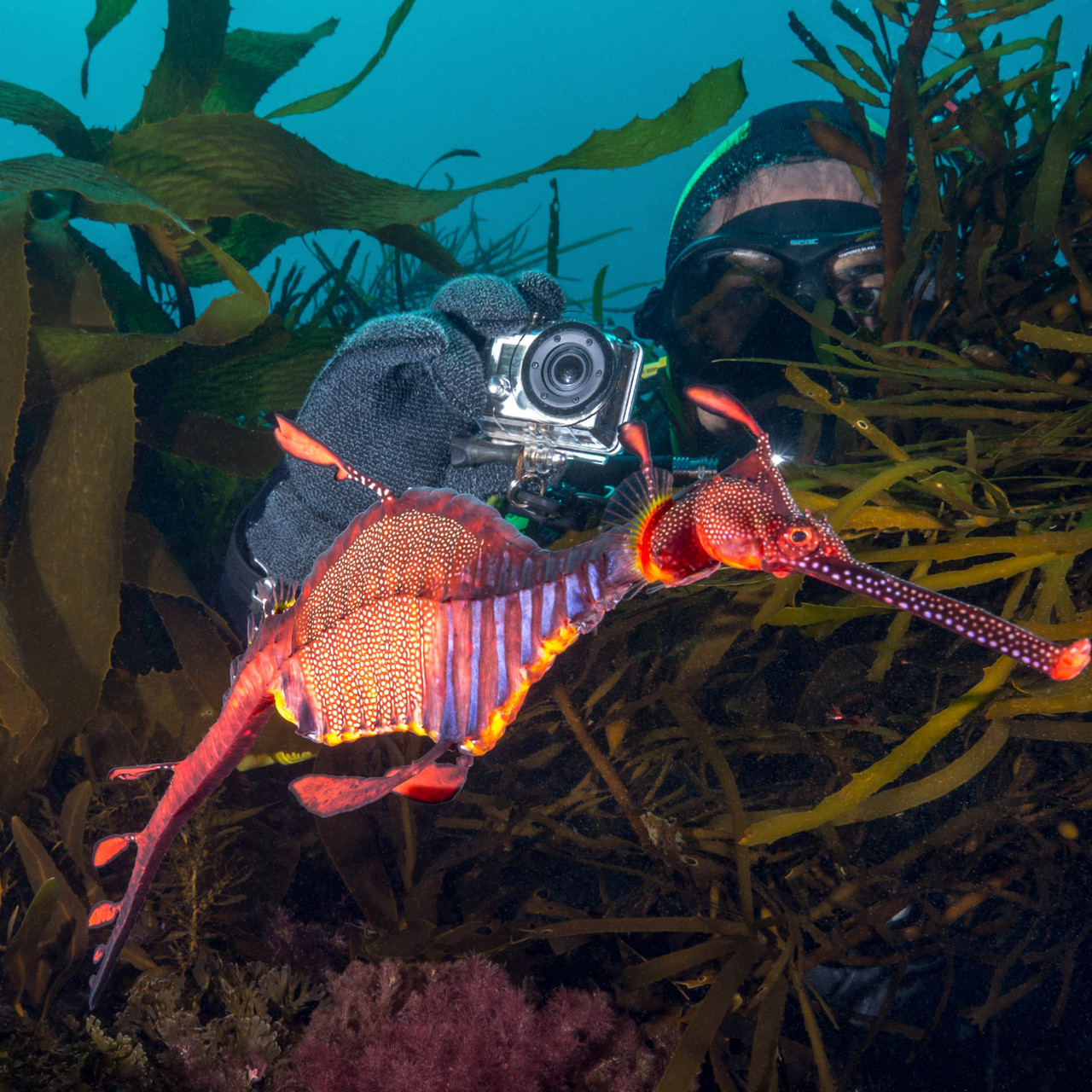 Weedy Sea Dragon and diver