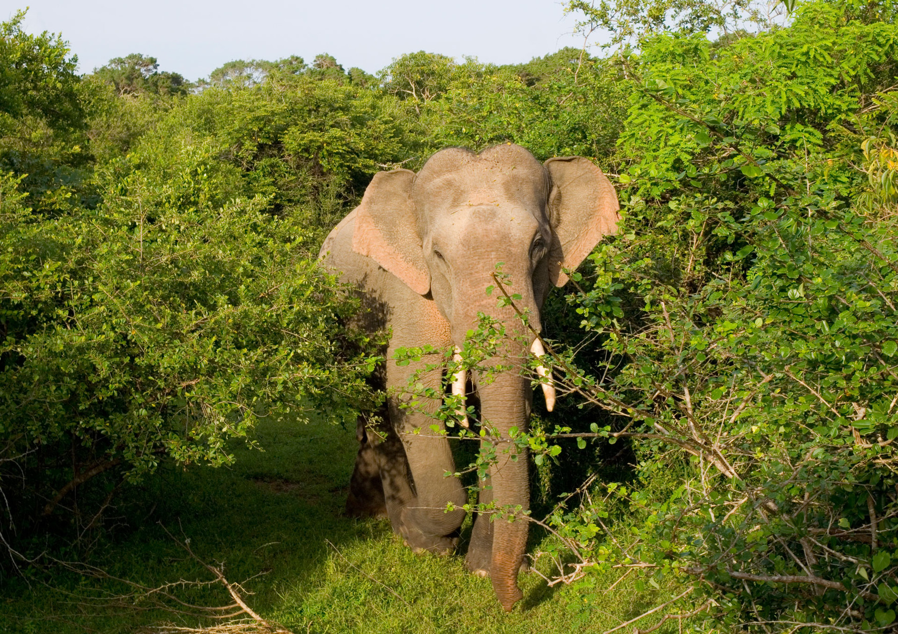 Elephant, Yala Nationalpark