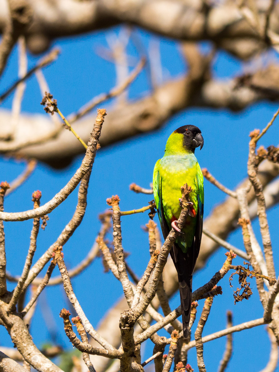 Black-hooded Parakeet, Pantanal [Brazil 2014]
