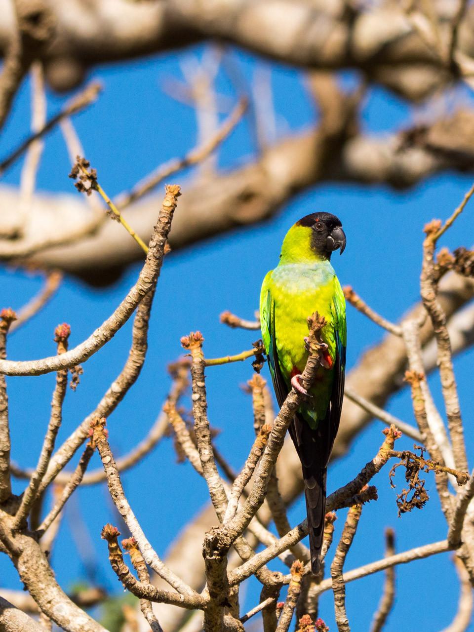 Black-hooded Parakeet, Pantanal [Brazil 2014]