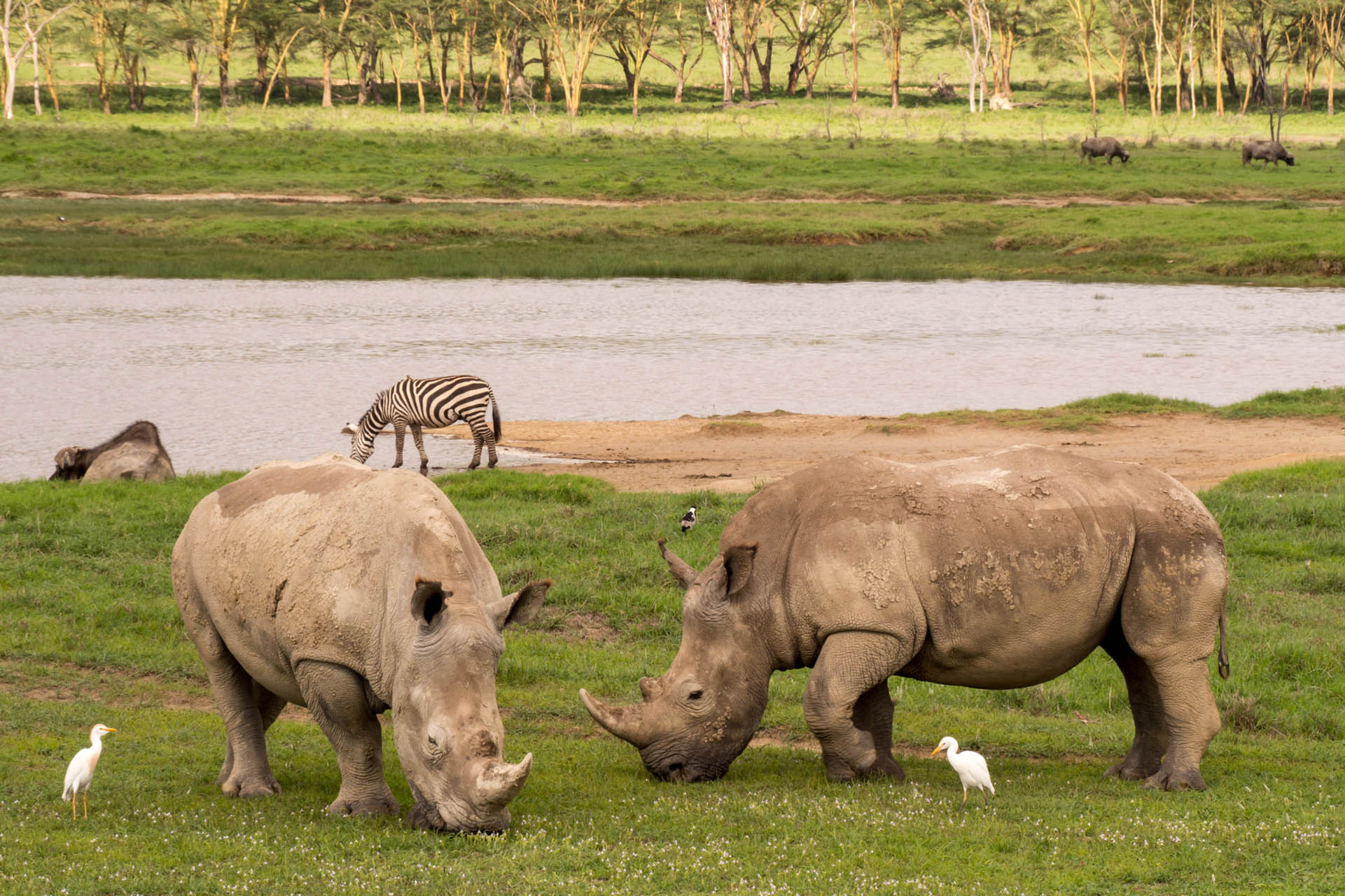 White rhinos, egret and zebra, Nakuru National park, Kenya