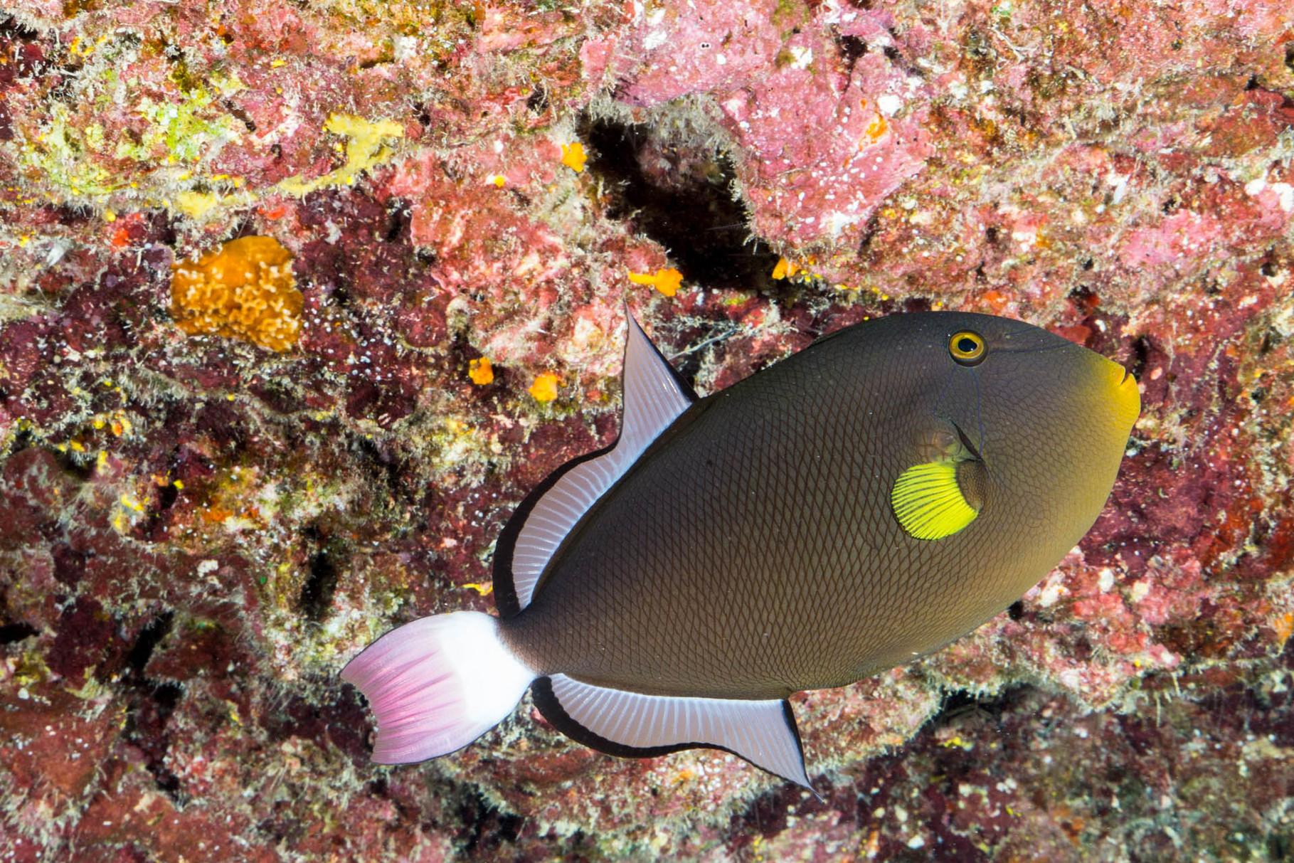 Trigger fish, Bora Bora
