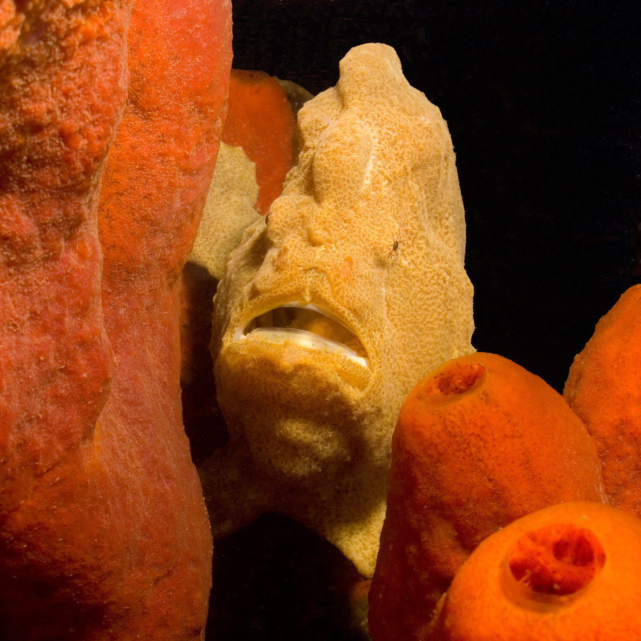 Yellow Frogfish on sponge