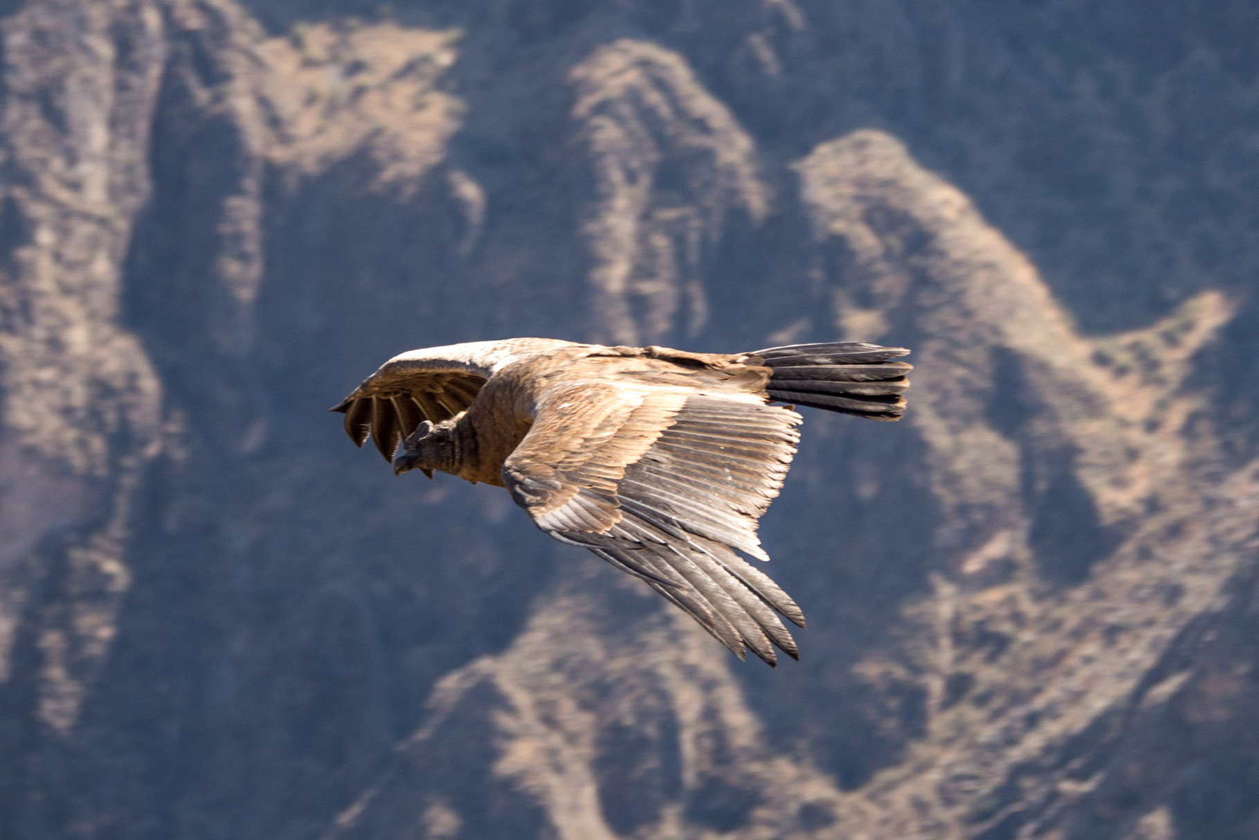 Majestetic Condors at Colca canyon, Mirador Cruz del Condor [Peru, 2014]