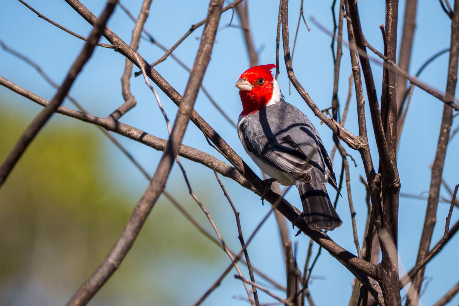 Yellow-billed Cardinal, Pantanal [Brazil 2014]