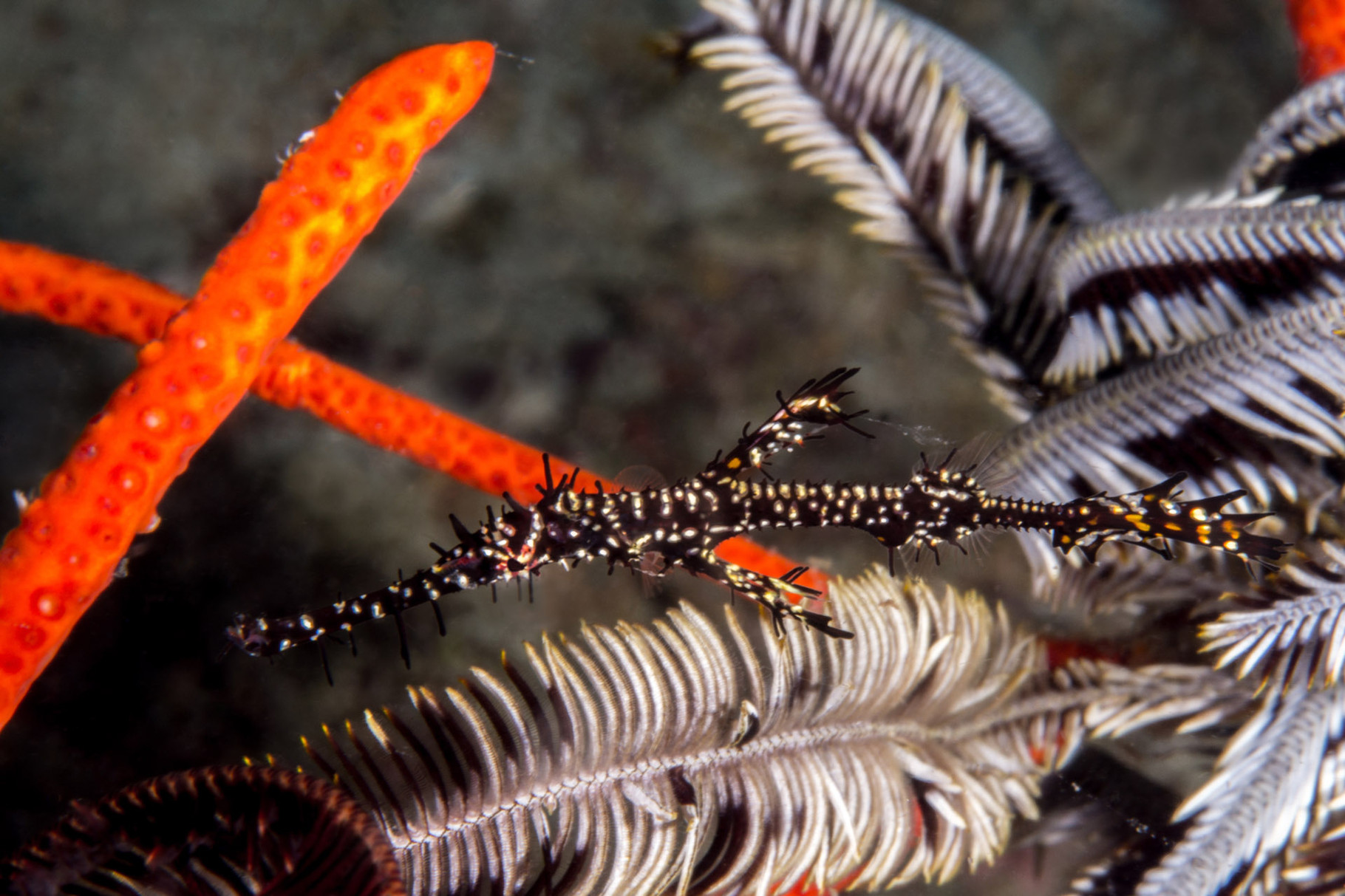 Ornate ghost pipefish, Cabilao [Philippines, 2015]