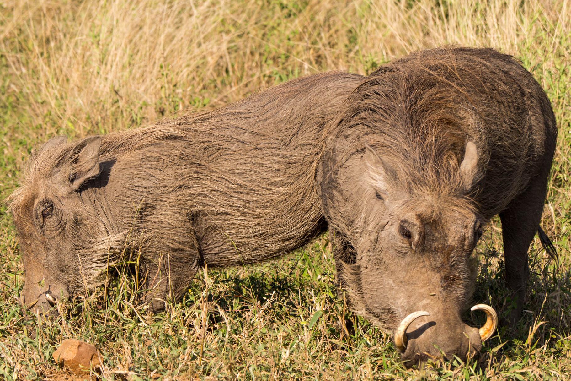 Wild boars [Kruger Park, South Africa, 2015]