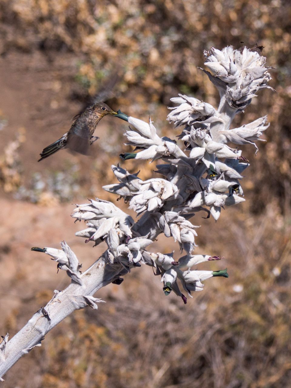 Giant hummingbird at Colca canyon, Mirador Cruz del Condor [Peru, 2014]