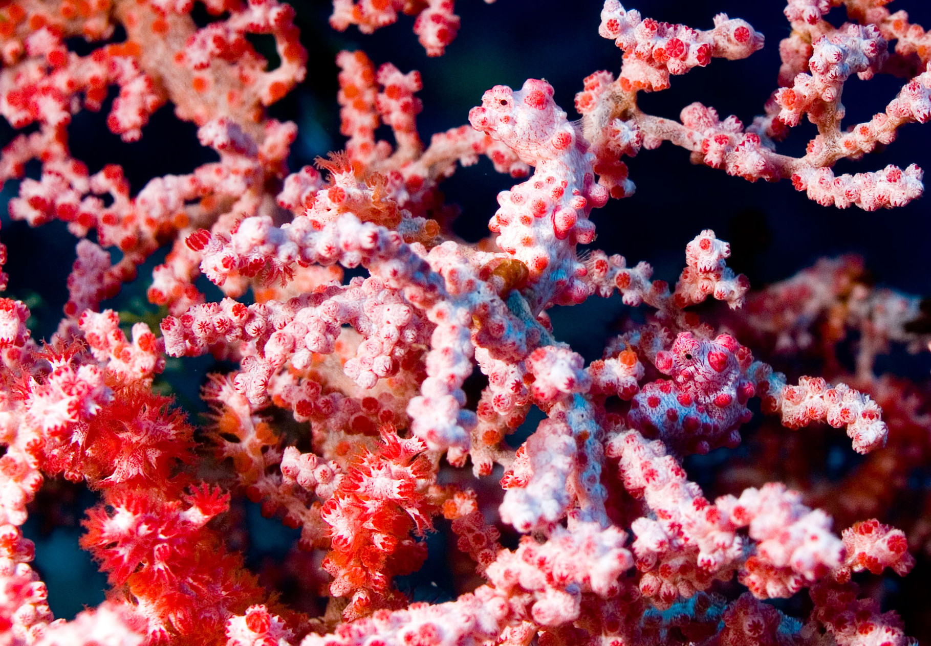 Two pygmy seahorses (not bigger than 1.5 cm)Pygmy