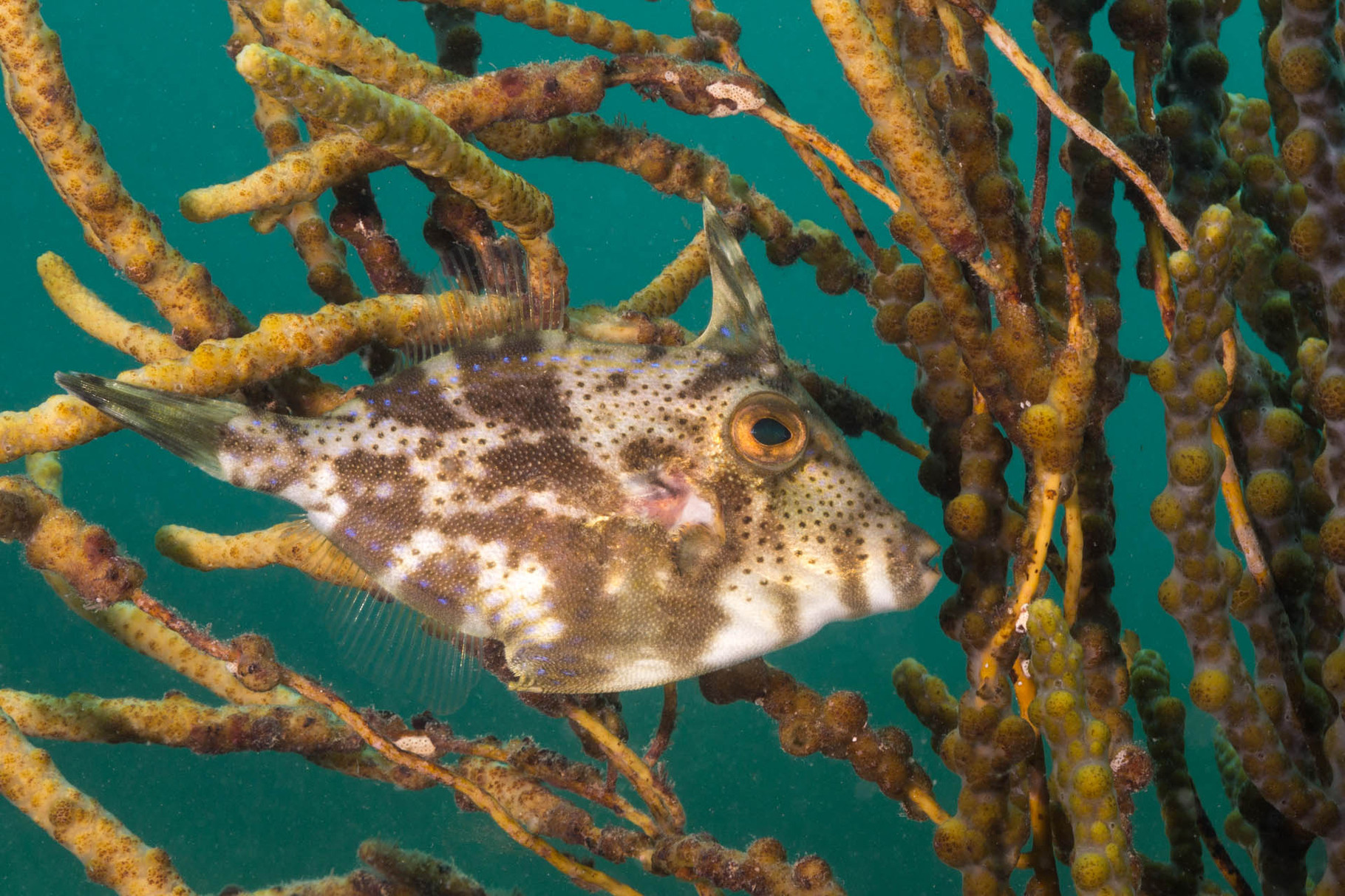 Mosaic Leatherjacket, Rapid Bay