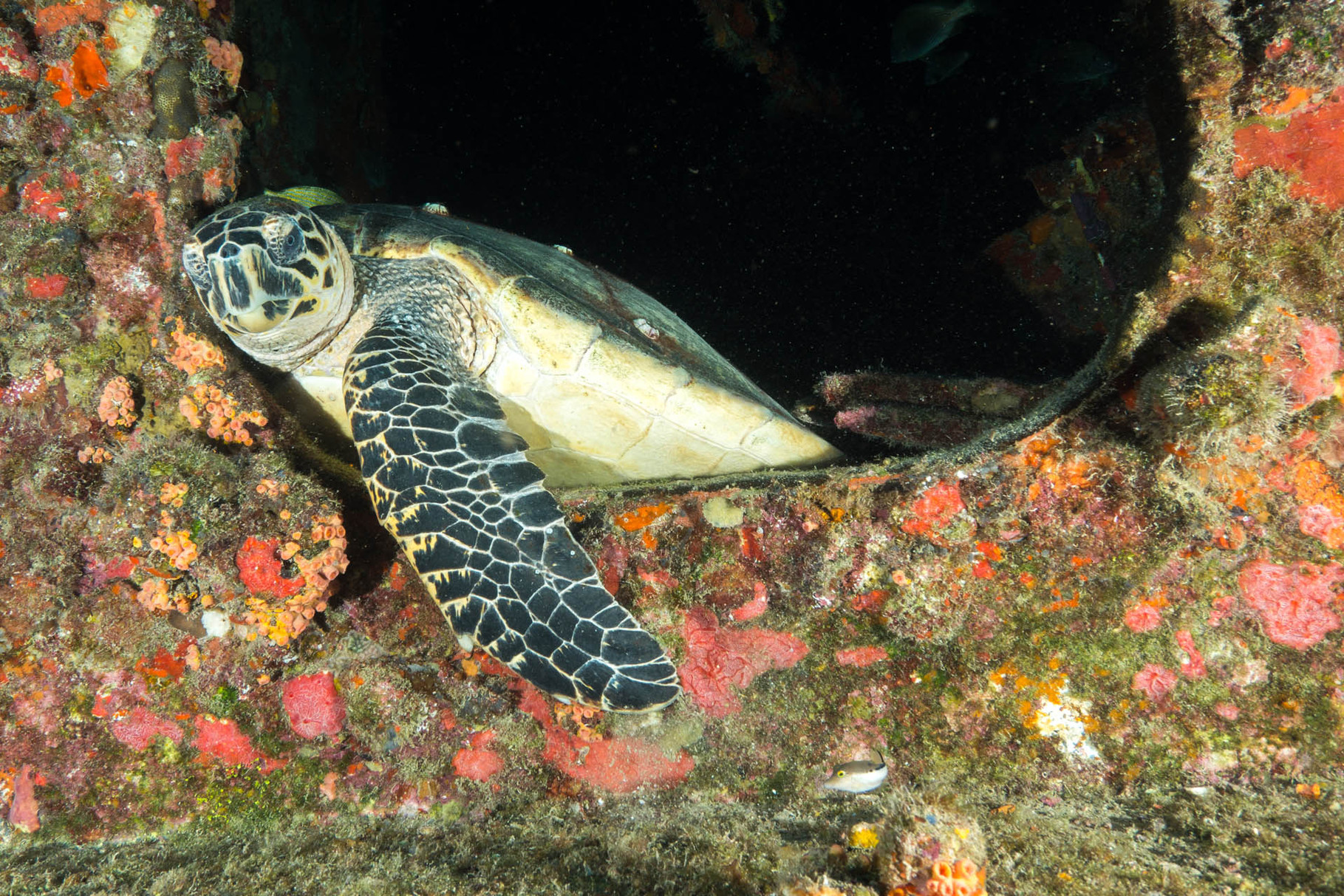 Resident turtle at Duane wreck, Key Largo