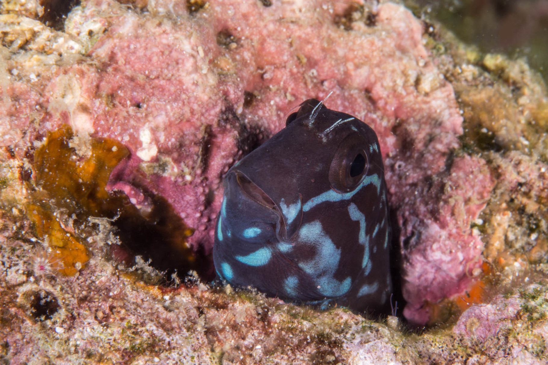 Black combtooth blenny (Ecsenius namiyei), Cabilao [Philippines, 2015]