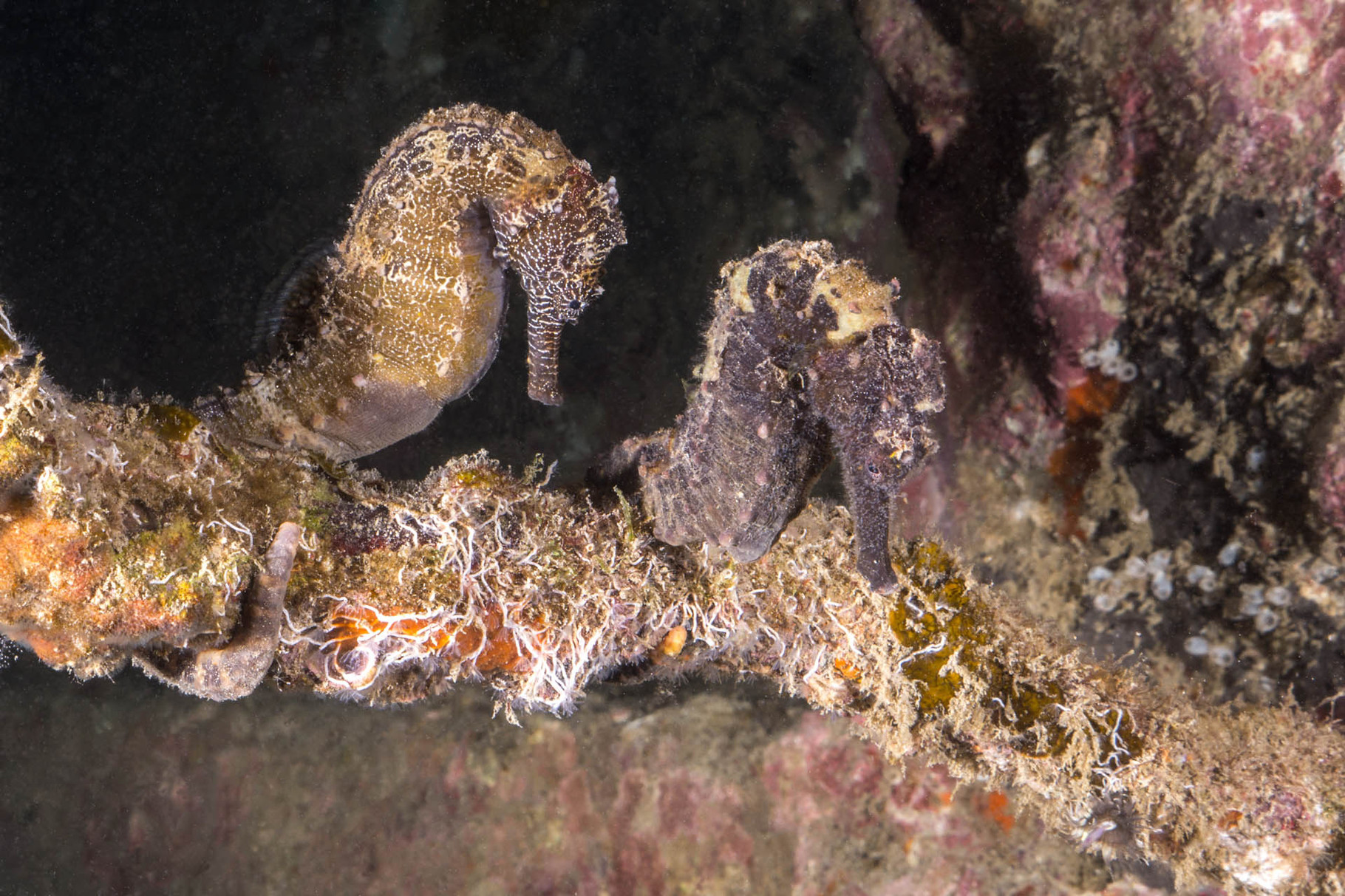 Two zebra-snout seahorses (Hippocampus barbouri), Padre Burgos [Philippines, 2015]