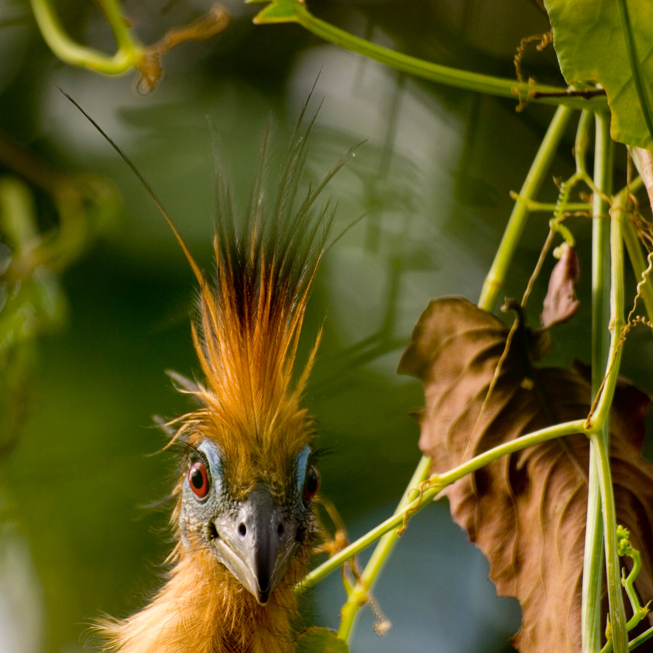 Hoatzin (Opisthocomus hoazin), also known as the Stinkbird [Venezuela, 2009]