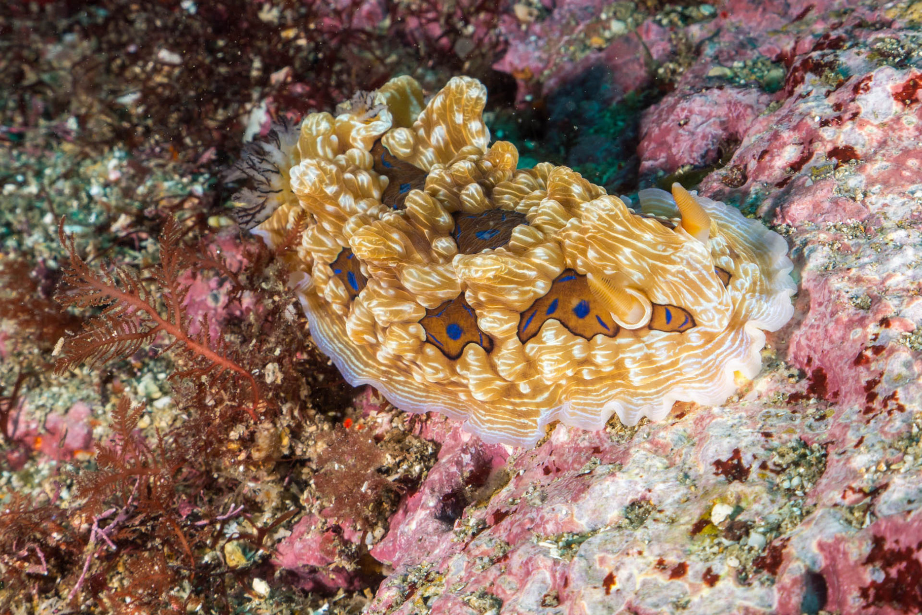 Nudibranch, Poor Knights Islands