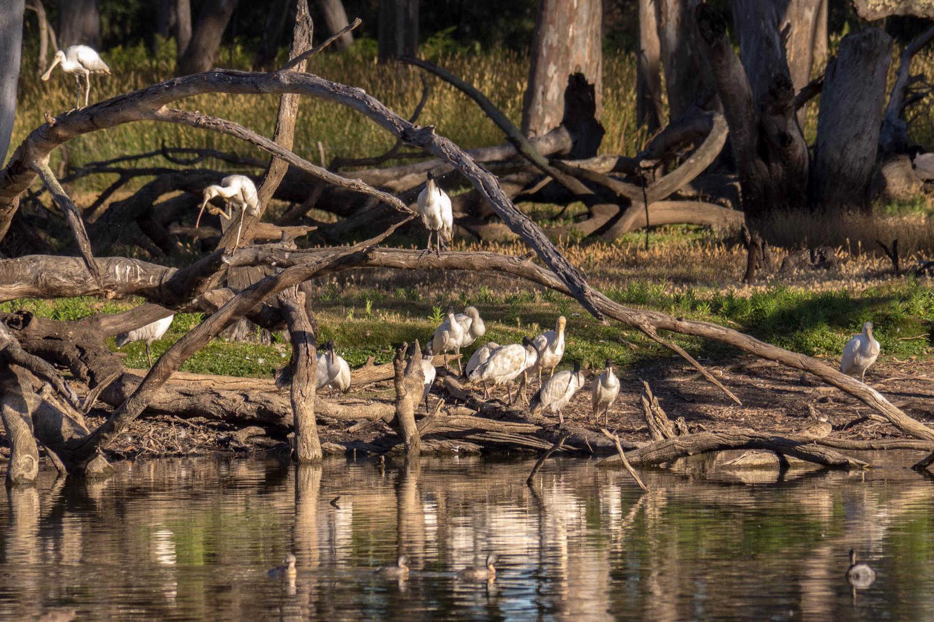 Spoonbills at Duck Lagoon, Kangaroo Island