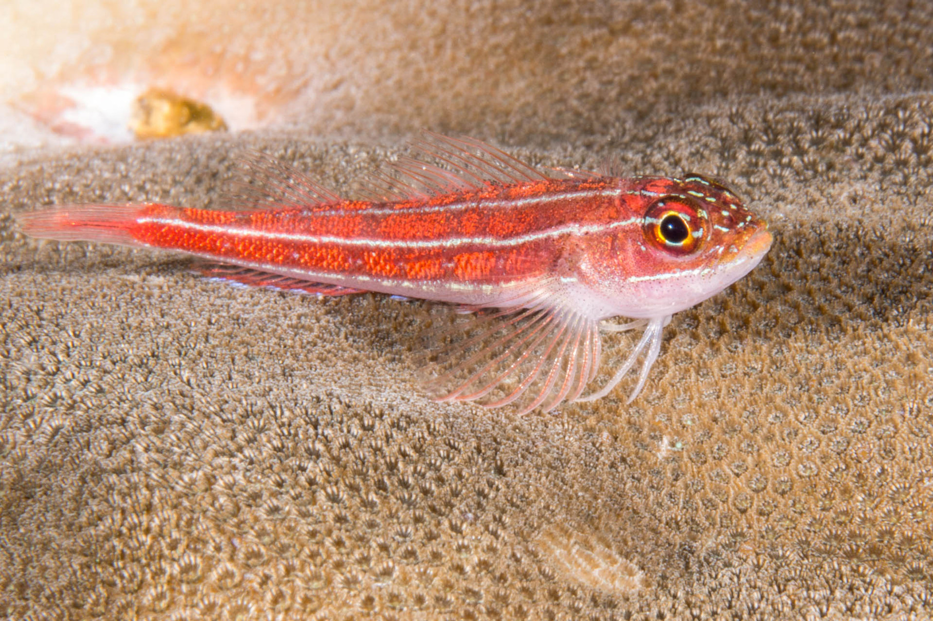Striped triplefin blenny (Helcogrmma striatum), Green Island