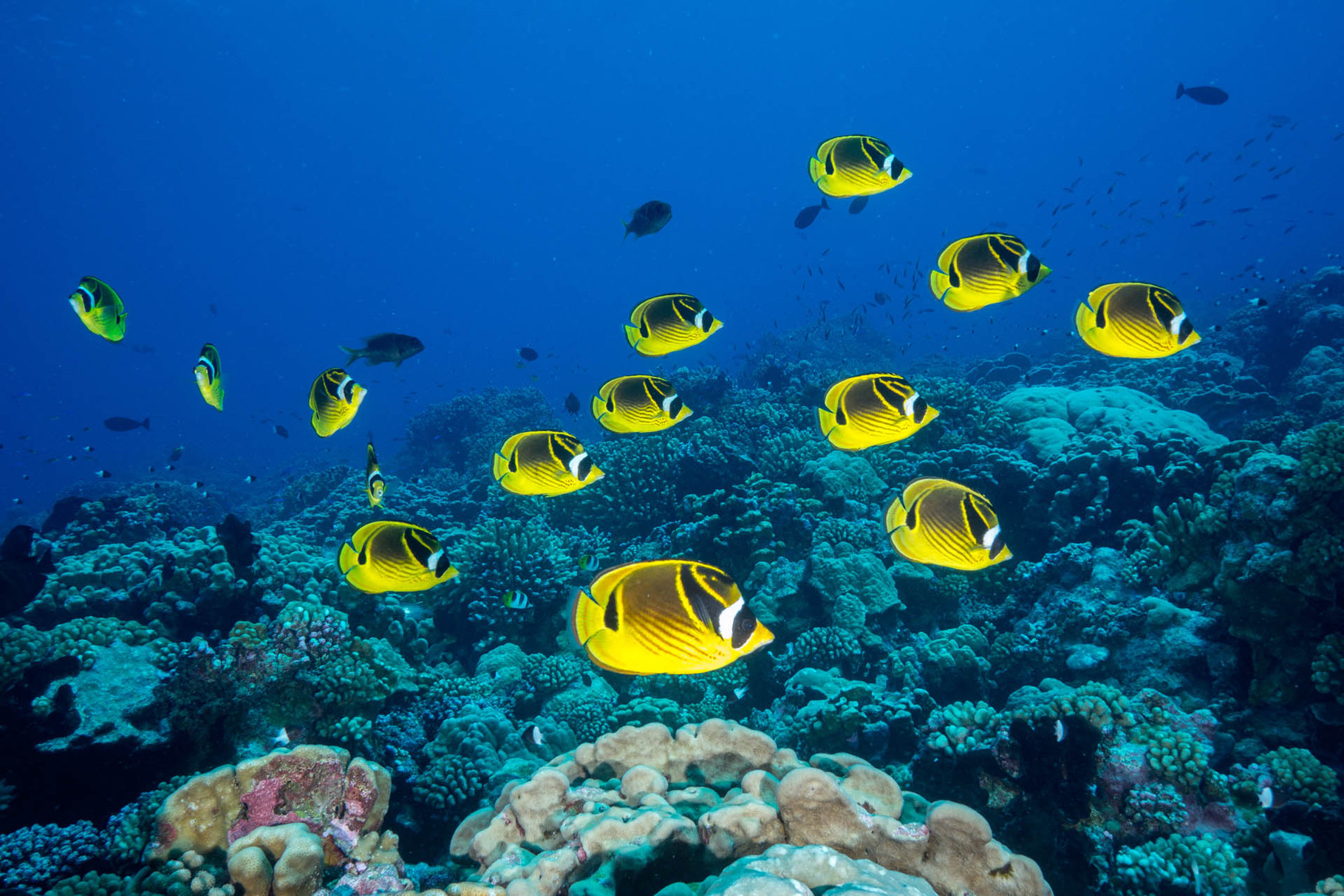 Butterfly fishes, North Pass, Fakarava