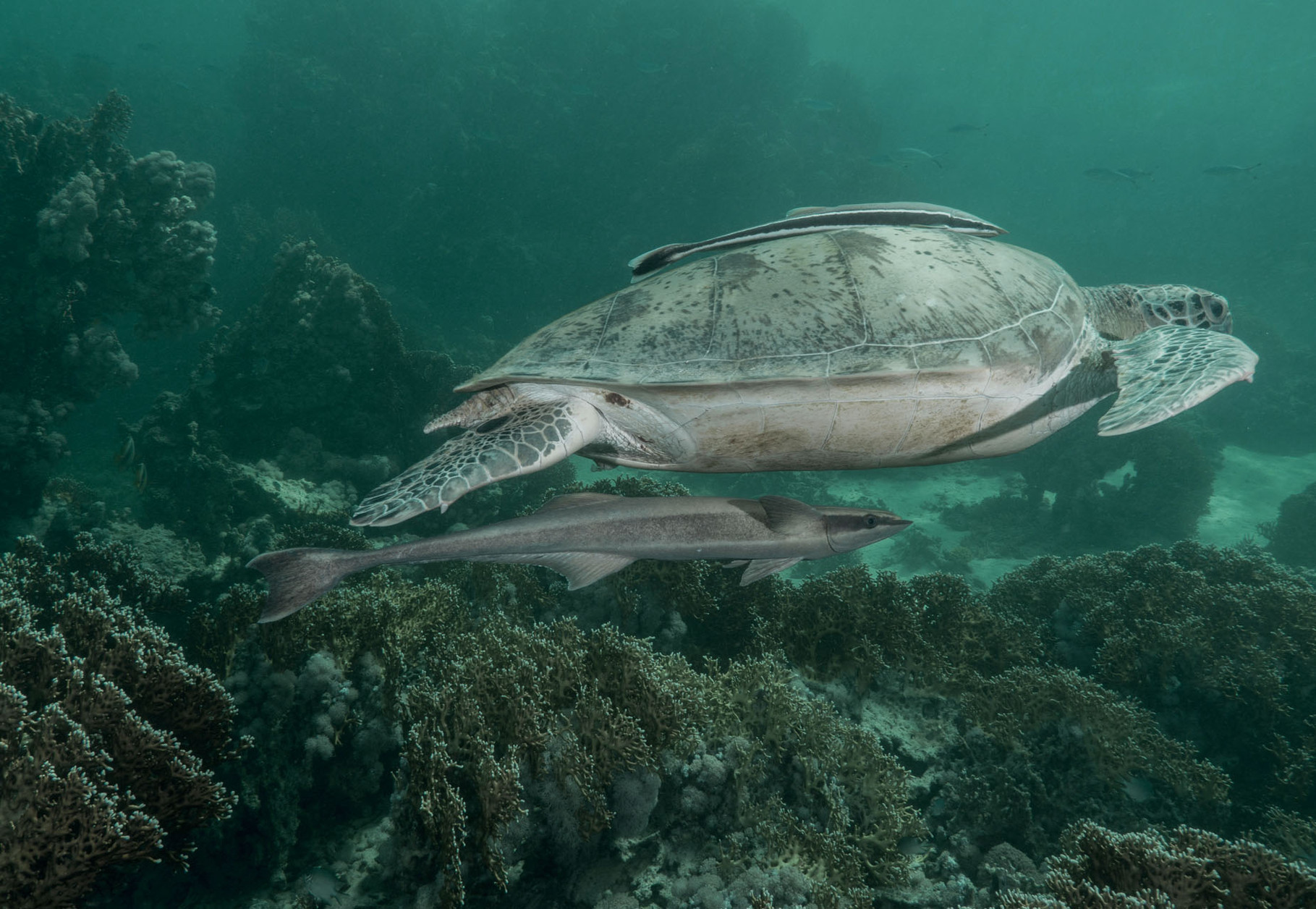 Turtle and Remora