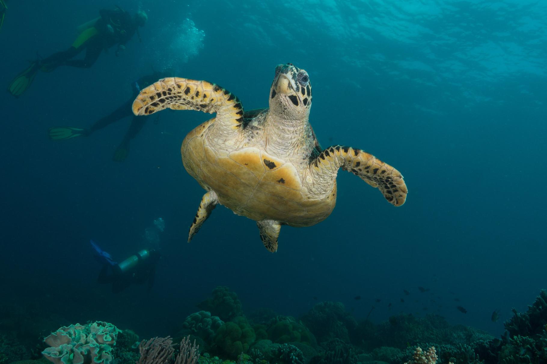 Turtle, Apo Island [Philippines, 2014]