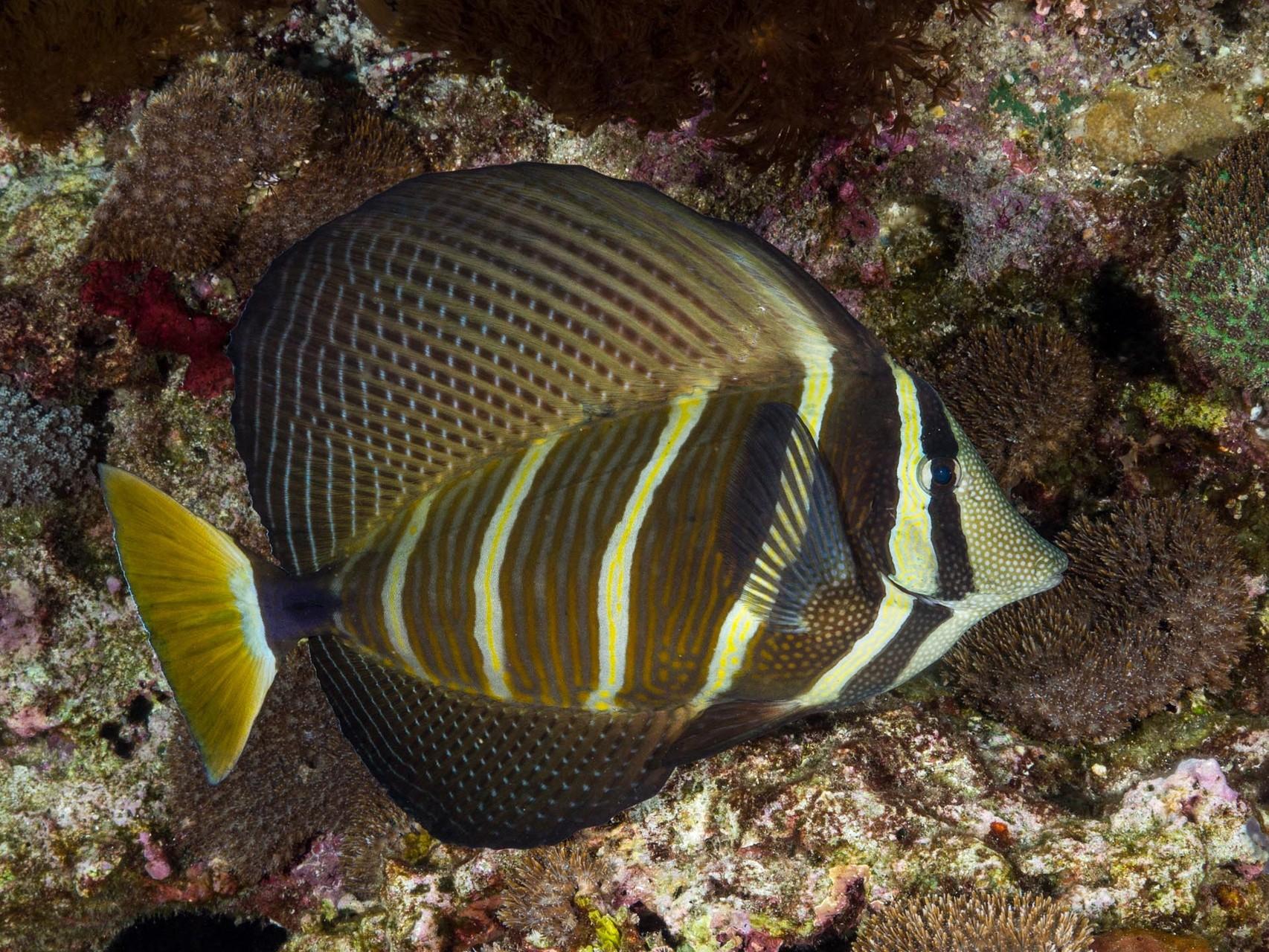 Pacific sailfin tang (Zebrasoma veliferum), Green Island