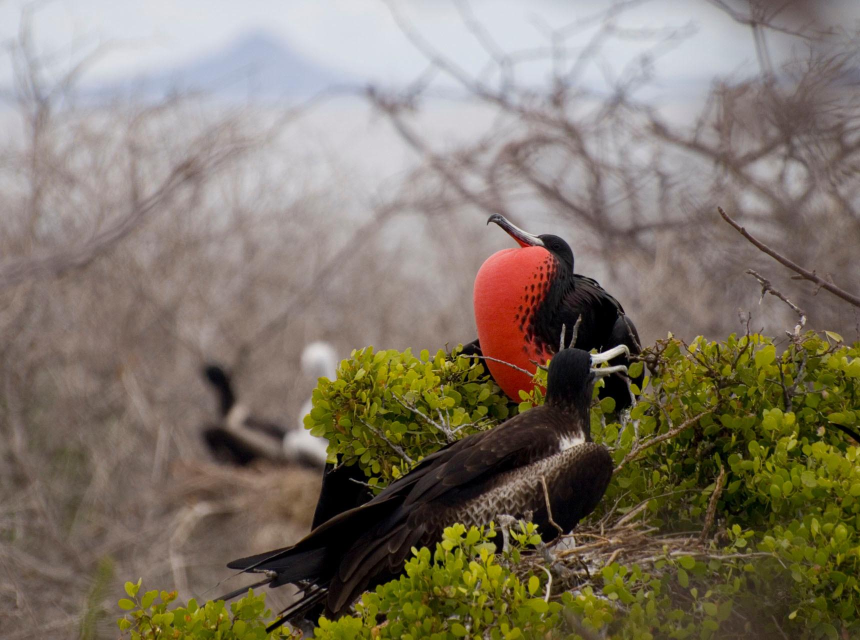 Magnificent Frigatebird [Galapagos, Ecuador, 2009]