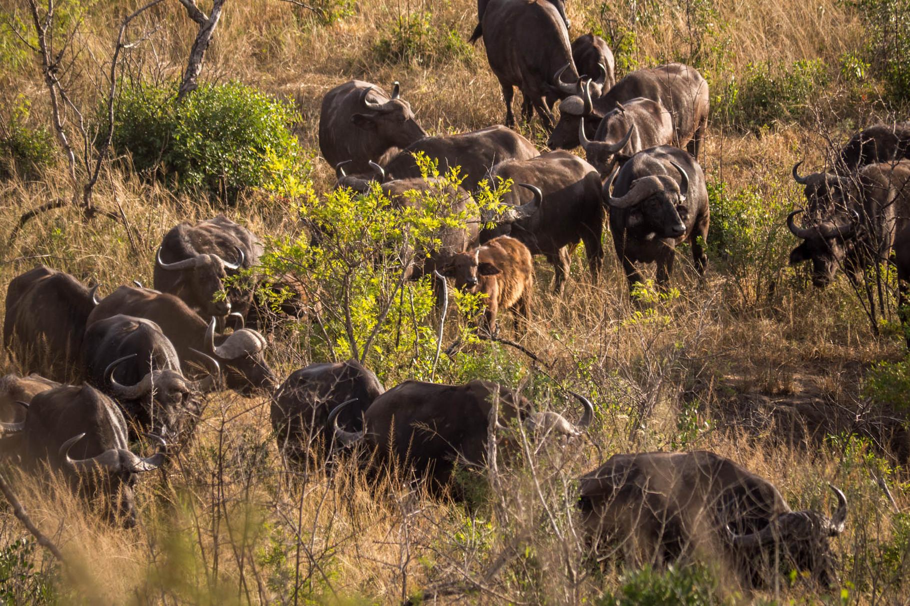 Buffalos [Hluhluwe-iMfolozi-Park, South Africa, 2015]