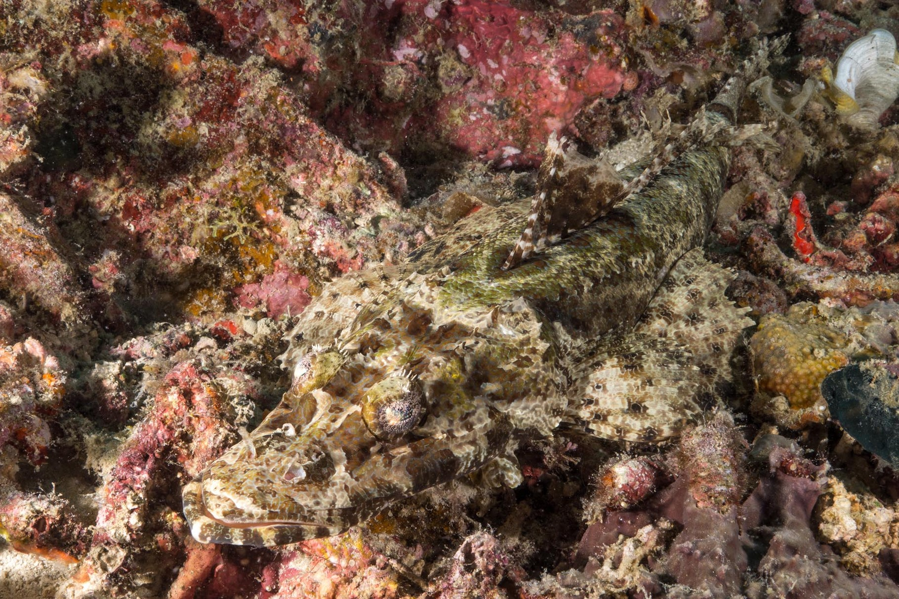 Crocodile fish, Coron