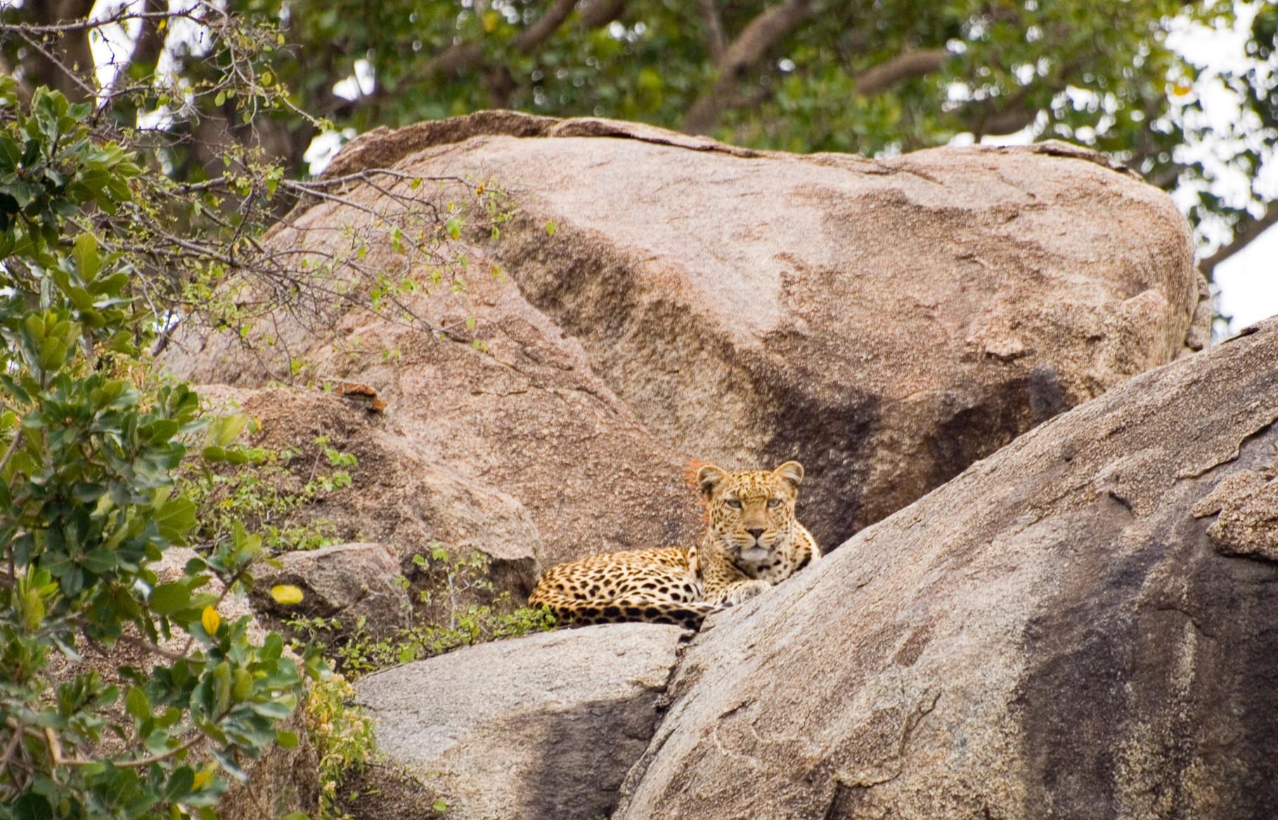 Leopard [Serengeti, Tanzania, 2012]