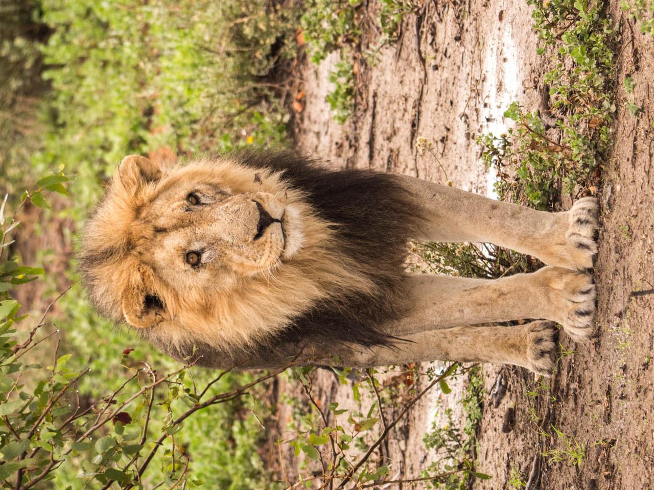 Lion [Etosha Park, Namibia, 2015]
