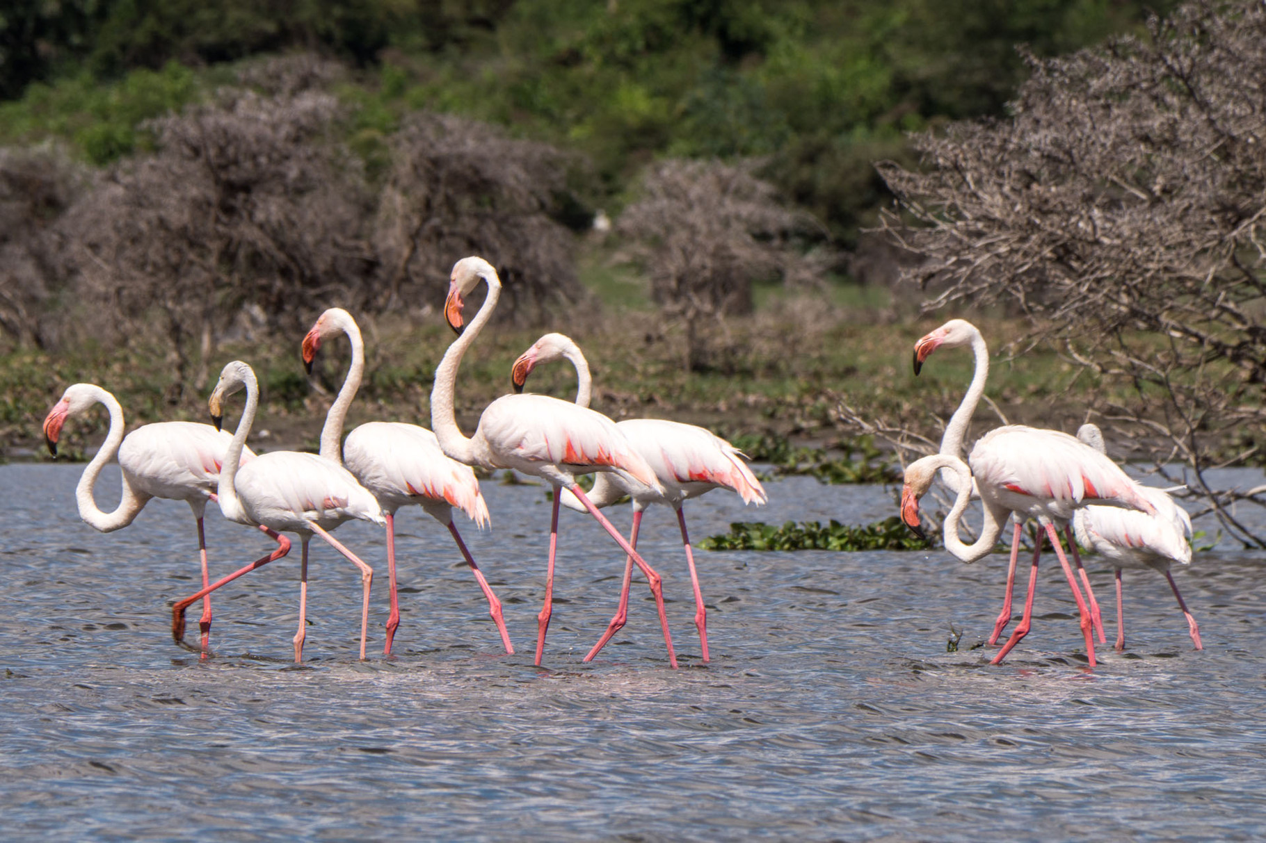 Lesser flamingos, Lake Naivasha