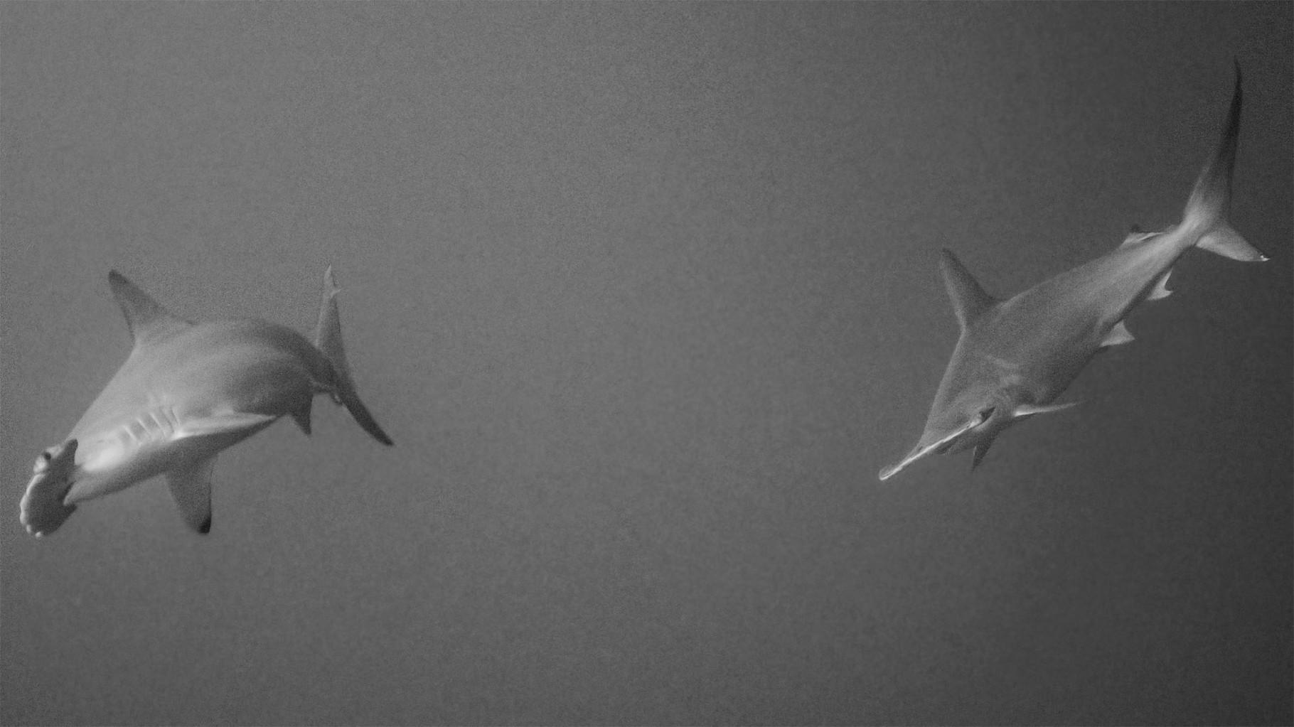 Hammerhead sharks, Yonaguni