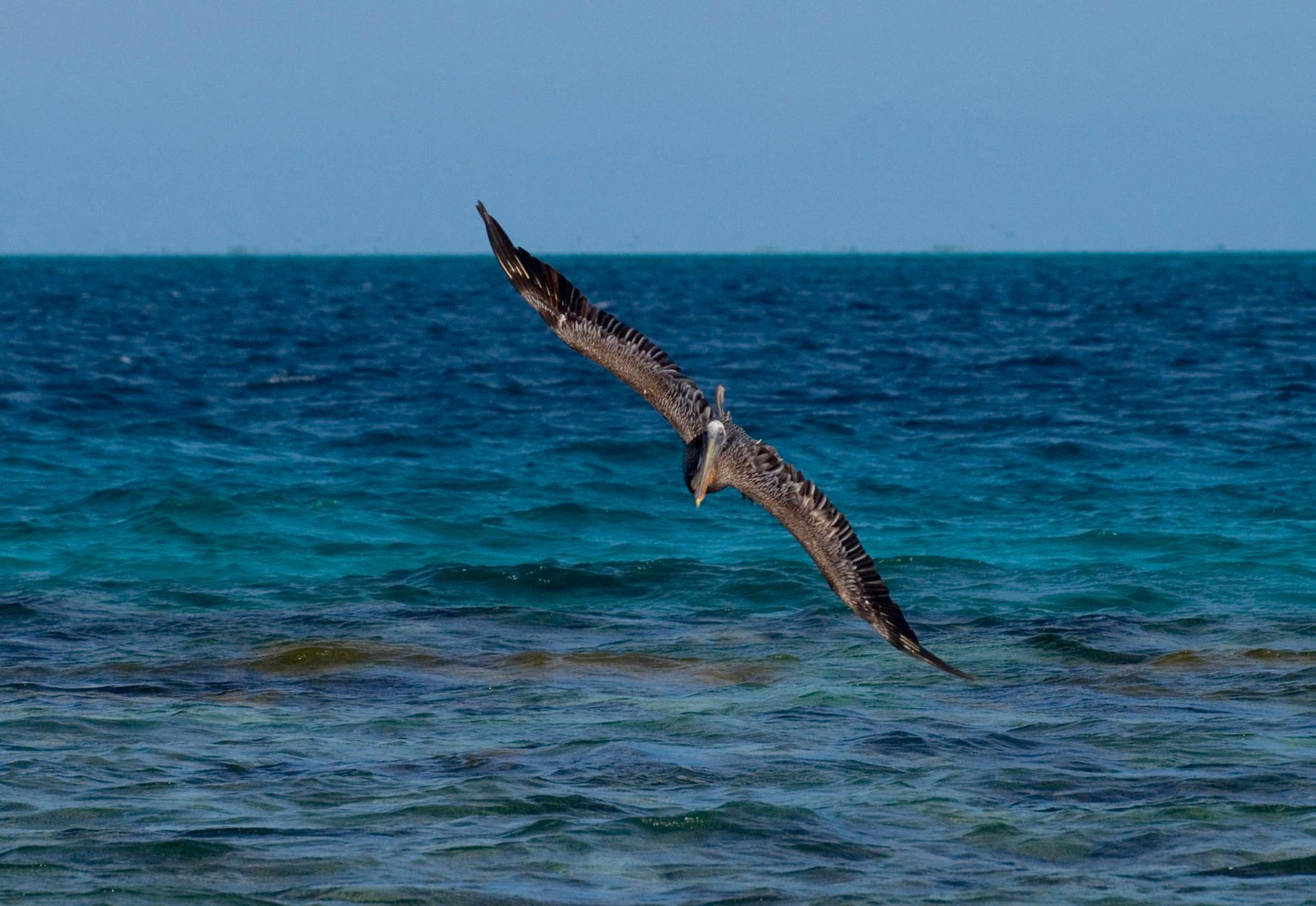 Pelican [Venezuela, 2009]