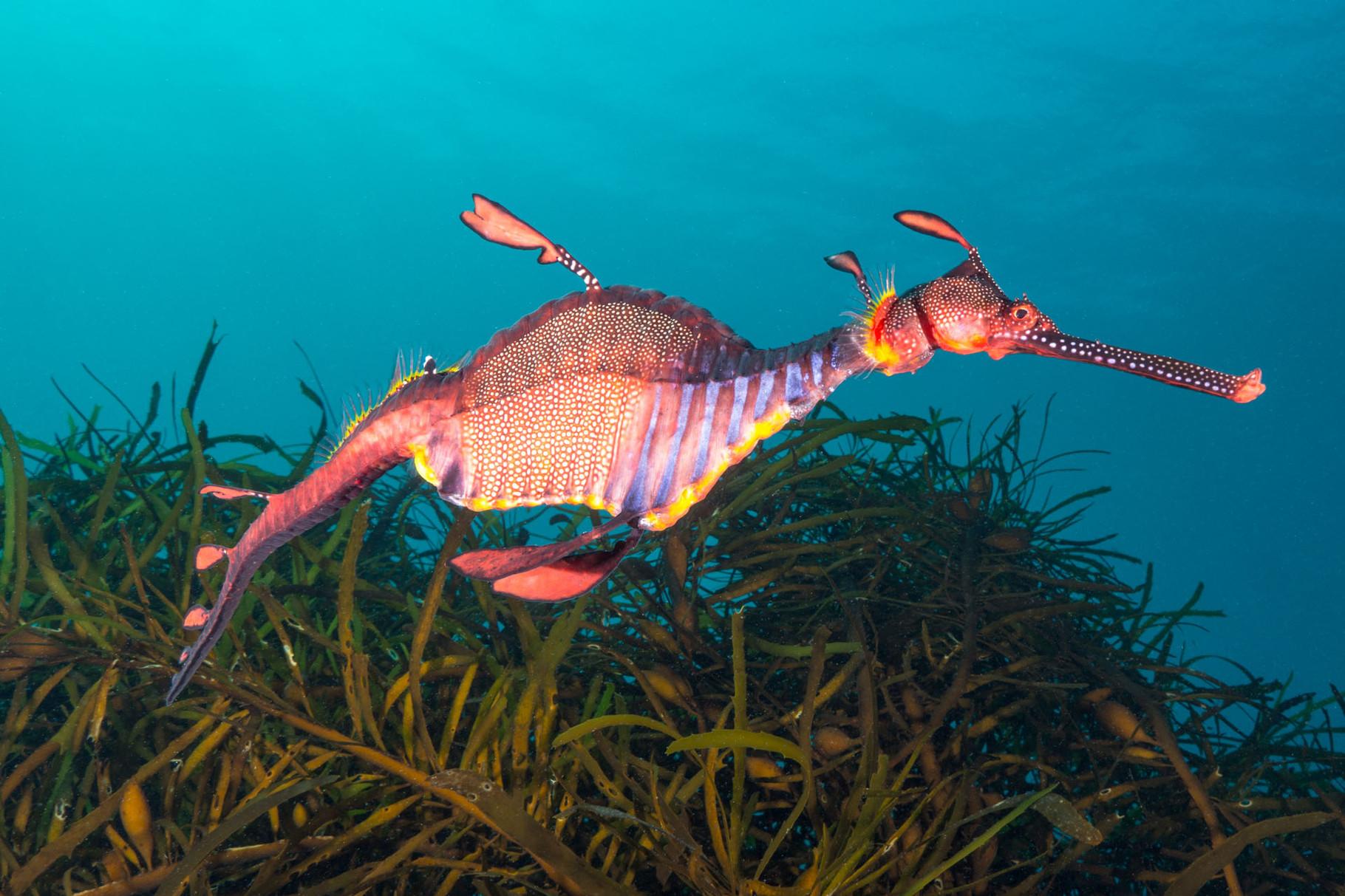 Weedy seadragon, Tasmania [Australia, 2014]