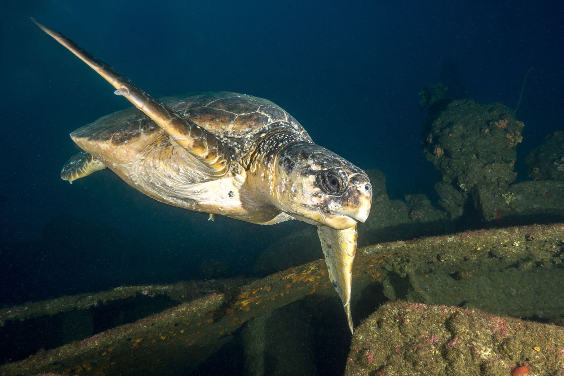 Turtle, Aliwal shoal [South Africa, 2015]