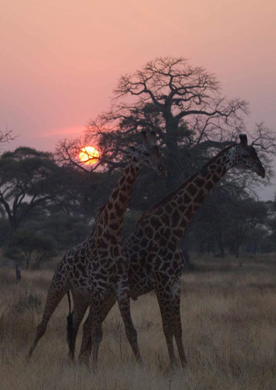 Giraffes [Serengeti, Tanzania, 2012]
