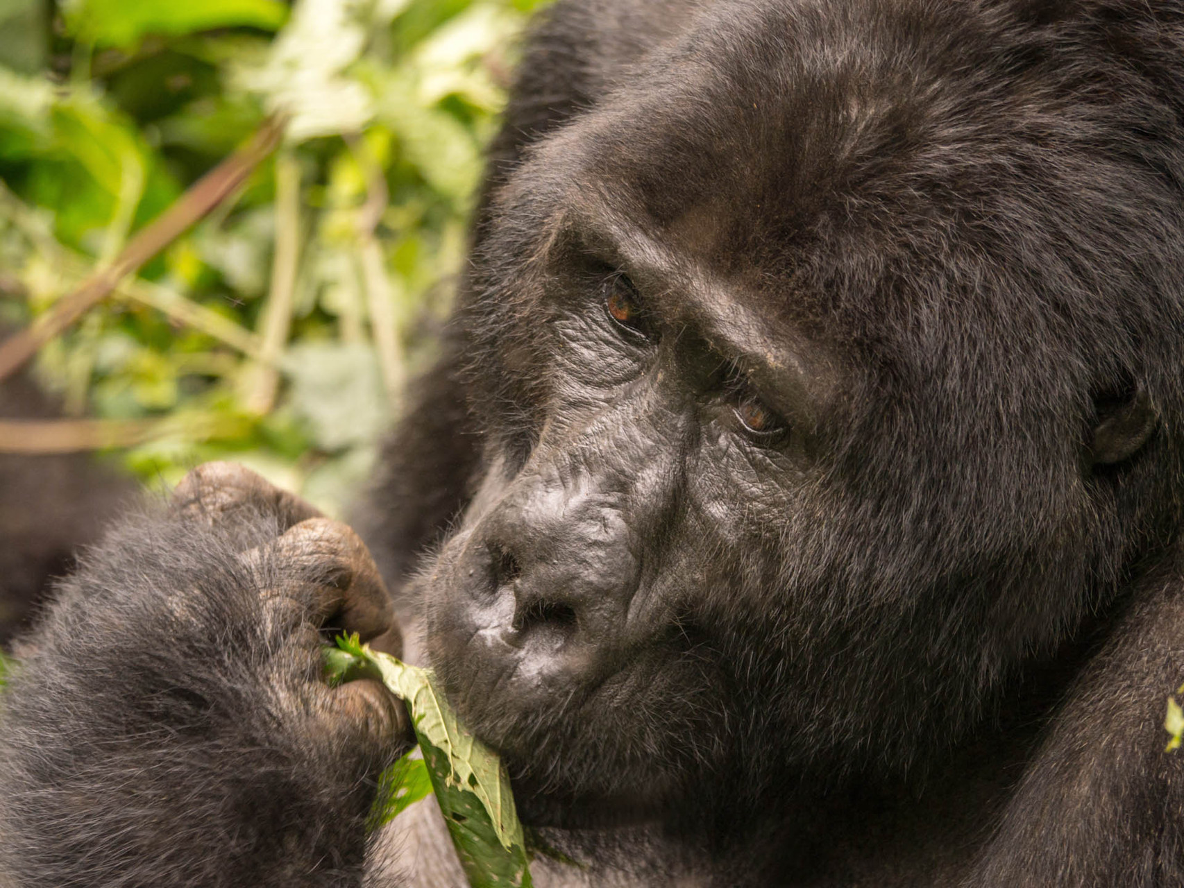 Mountain gorillas, Bwindi Impenetrable National park, Uganda