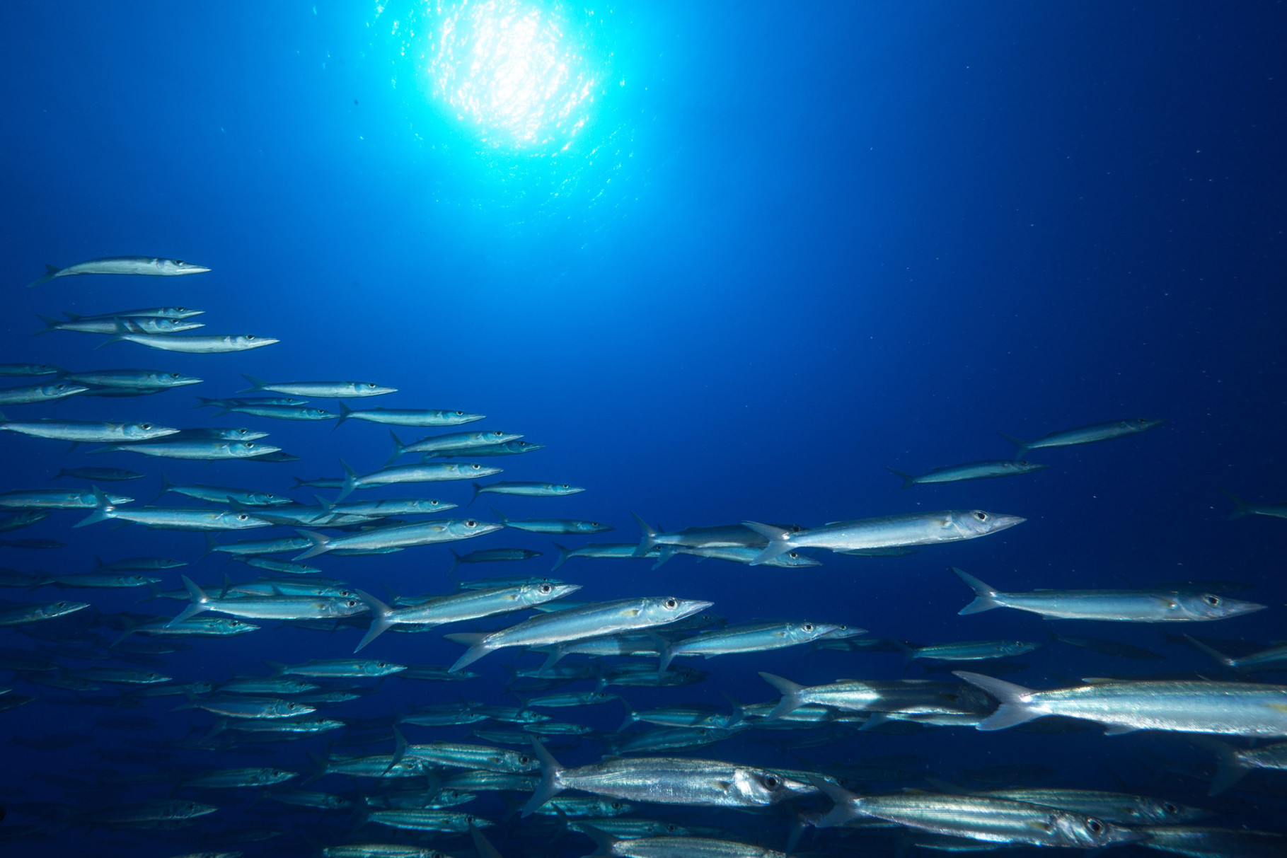 School of needlefishes, Tiputa Pass, Rangiroa