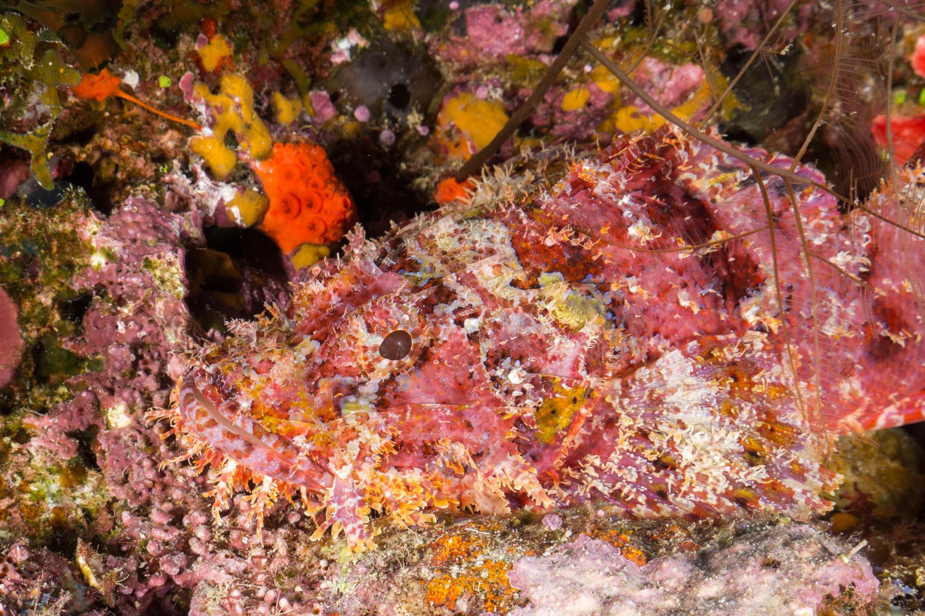 Papuan Scorpionfish (Scorpaenopsis papuensis) [Fiji, 2014]