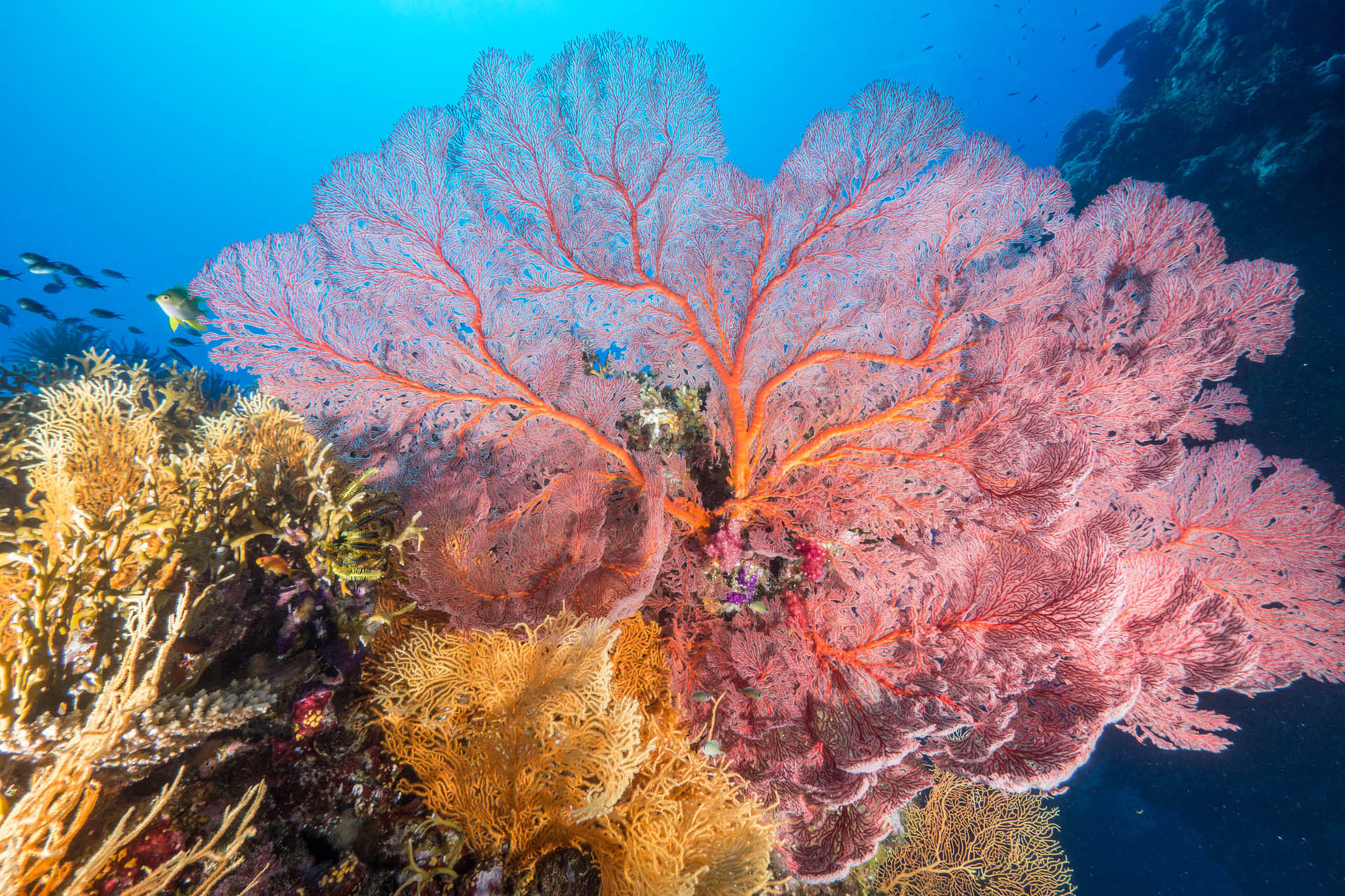 Soft corals and gorgonias, Lifou