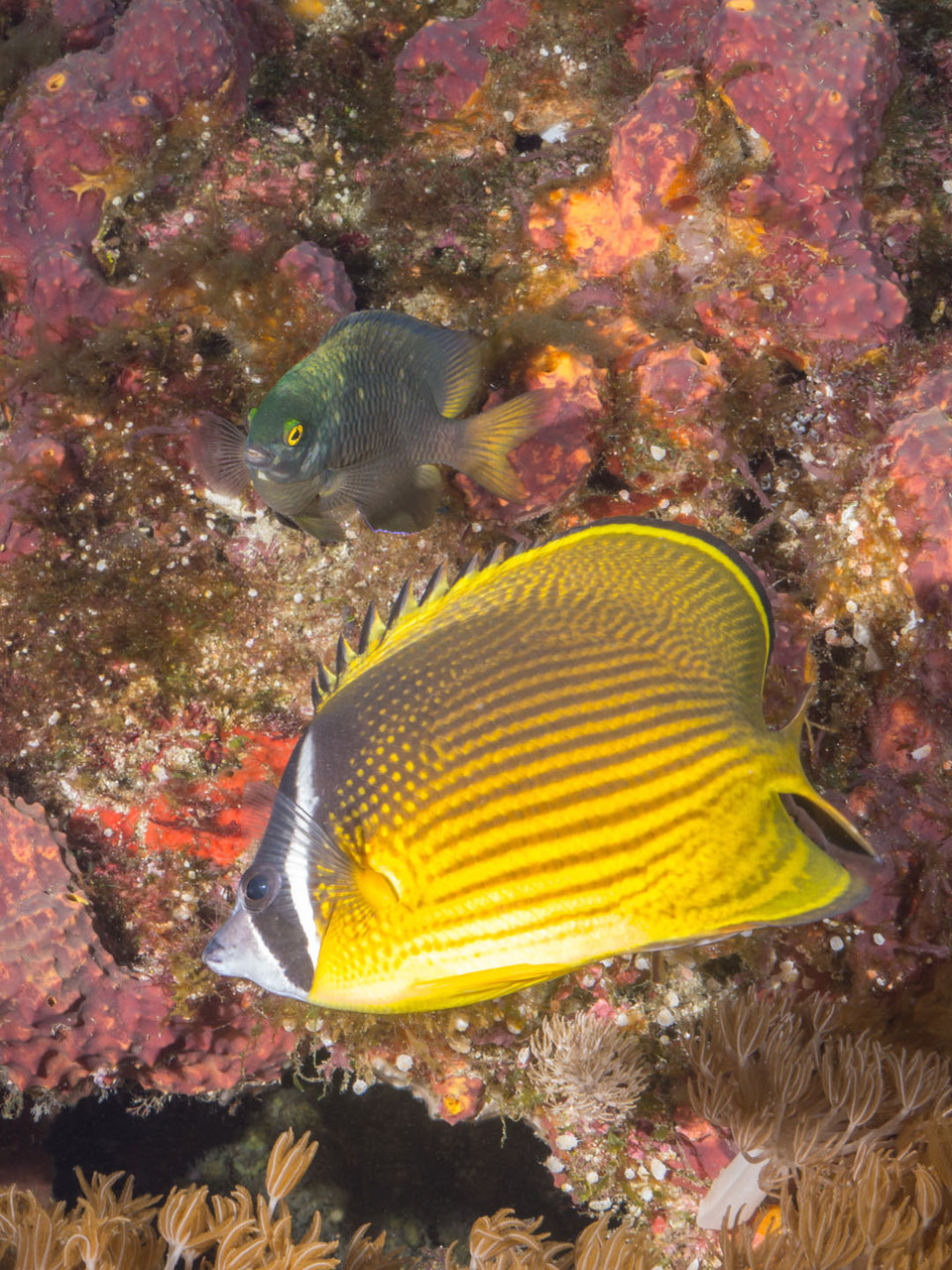 Oriental butterflyfish (Chaetodon auripes) and a undefined damselfish, Green Island