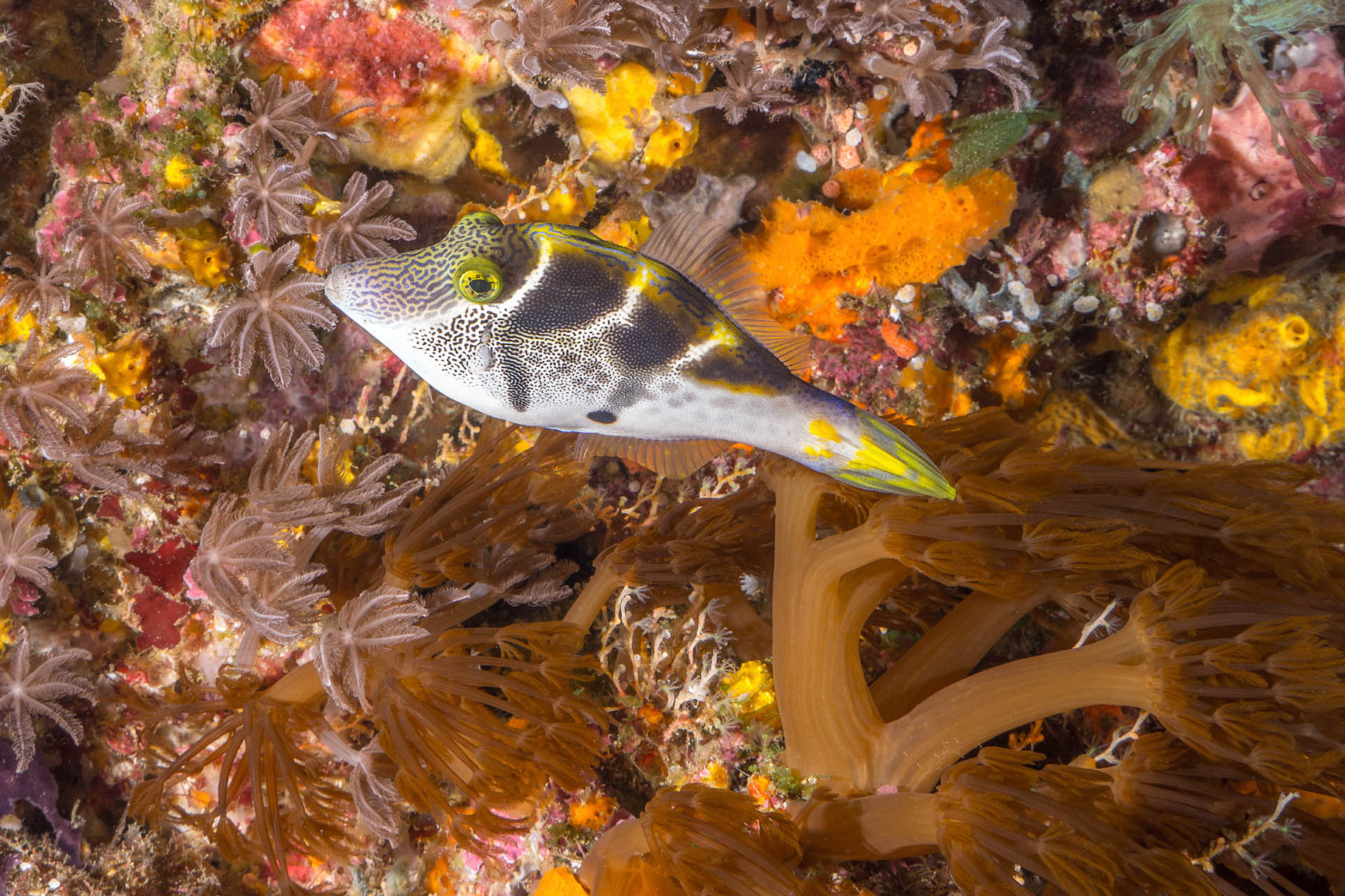 Crown toby (Canthigaster axiologa), Green Island
