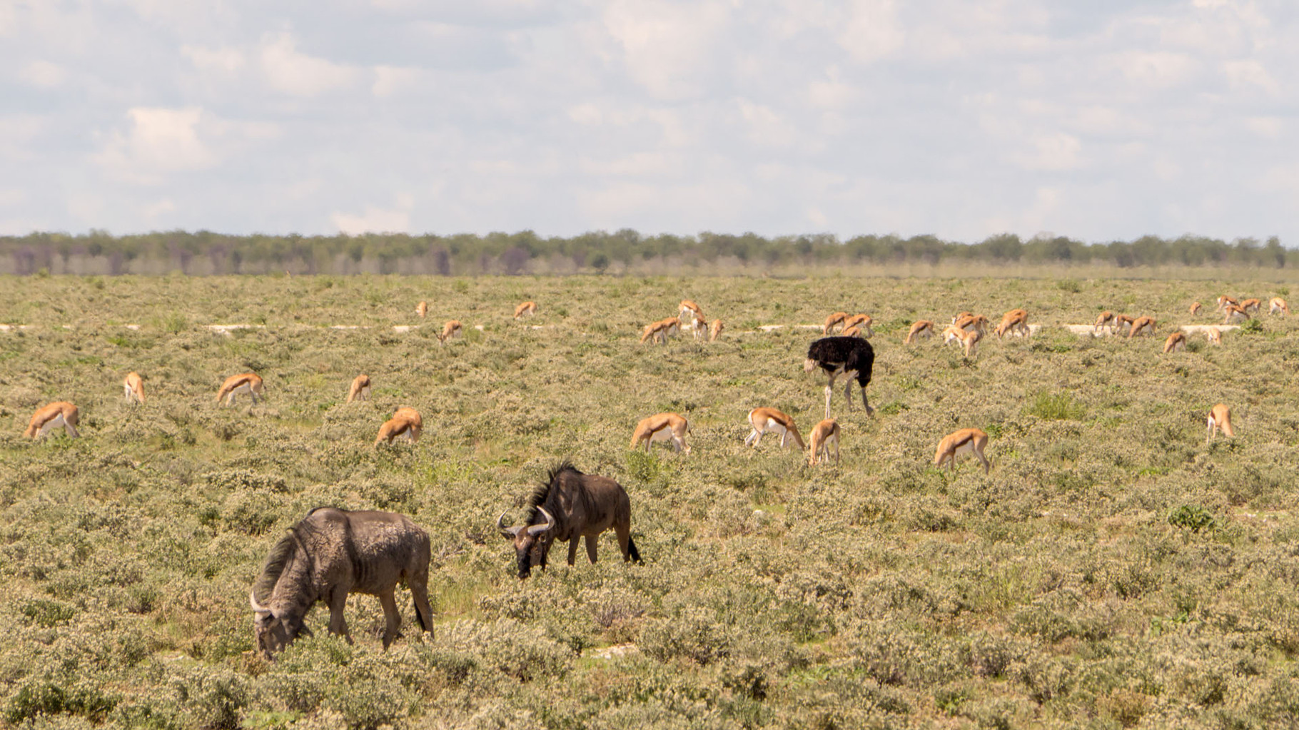 Wildebeest and impalas, Etosha National park