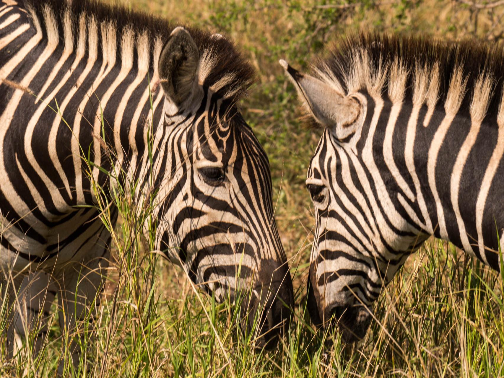 Zebras [Kruger Park, South Africa, 2015]