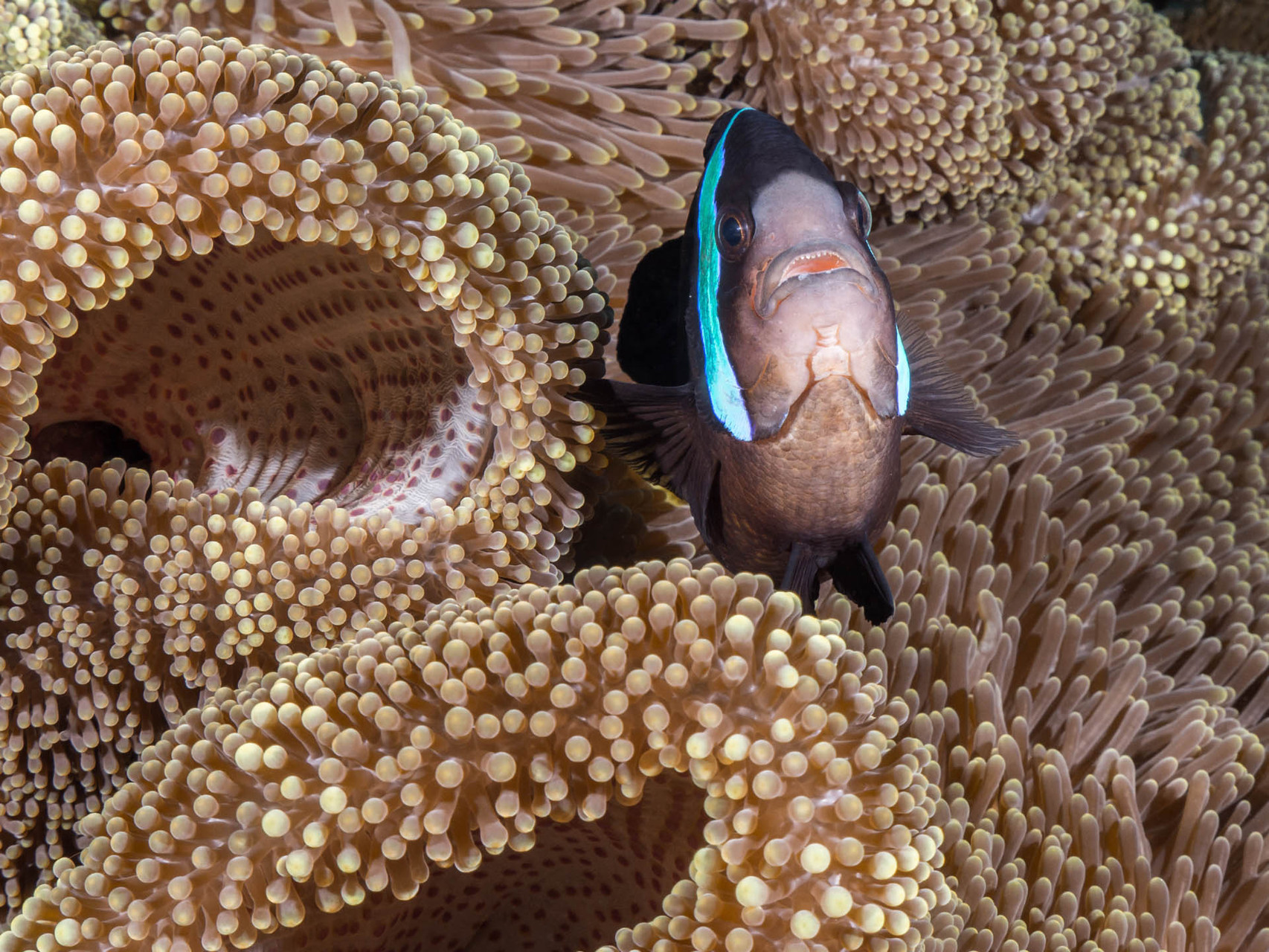 Saddleback anemonefish (Amphiprion polymnus) on Haddon´s carpet anemone, Green Island