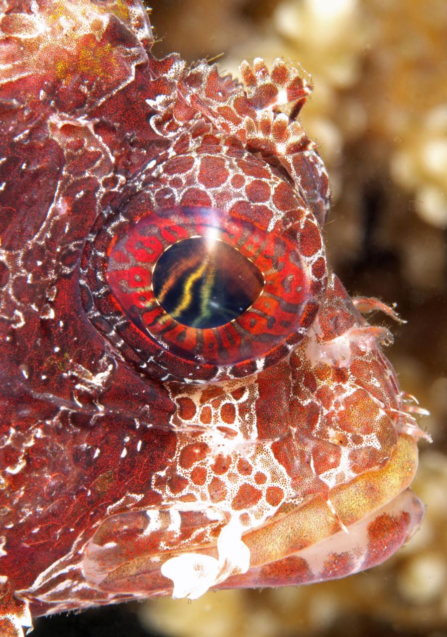 Dwarf shortfin lionfish