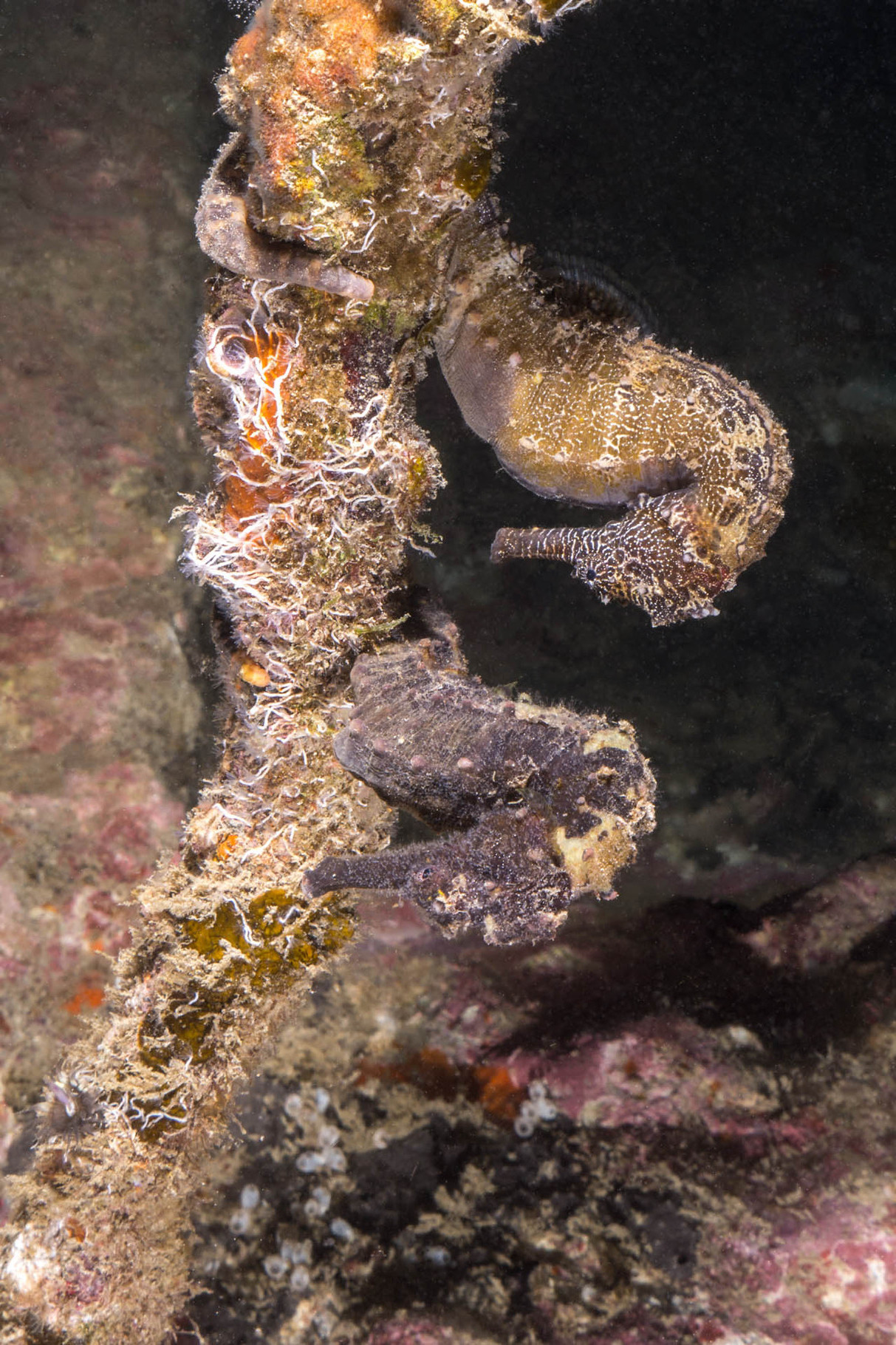 Two zebra-snout seahorses (Hippocampus barbouri)